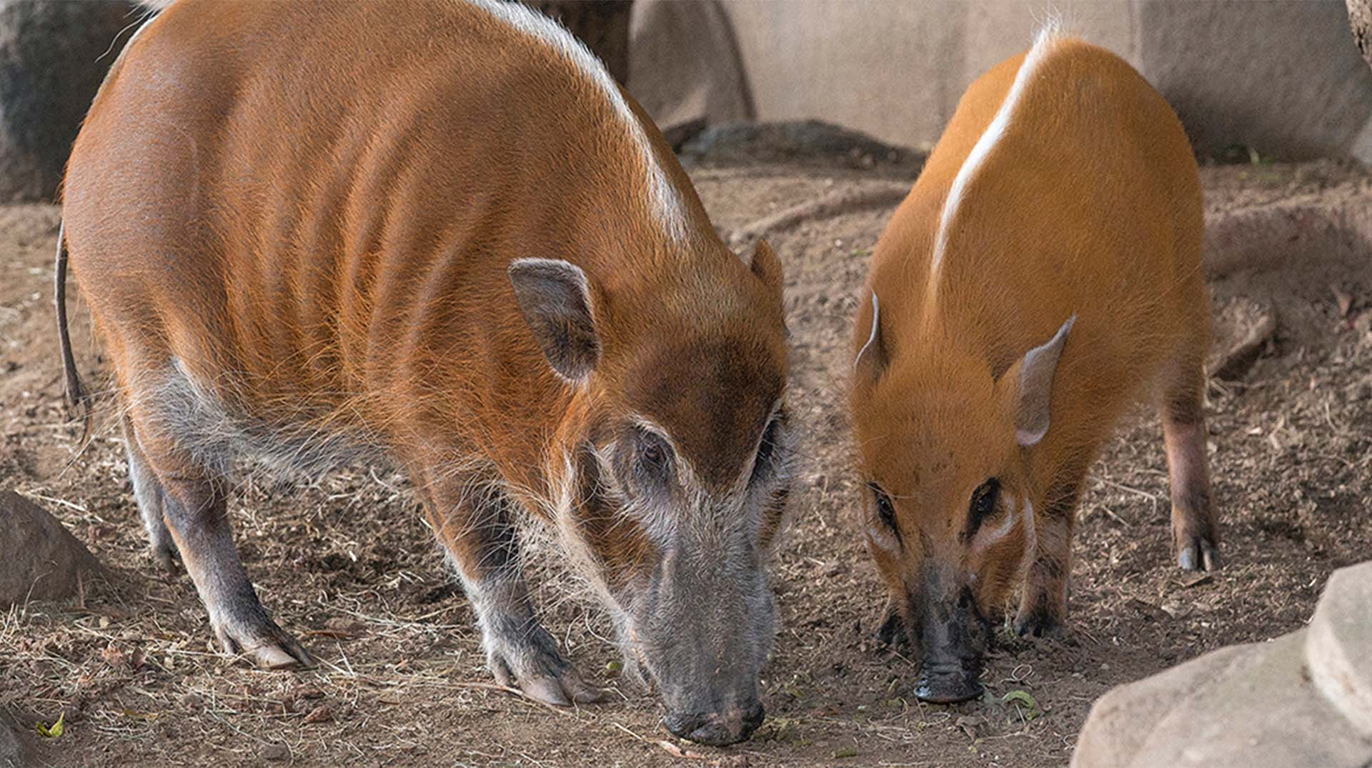 Red river hogs Murphy and Mina at the zoo.