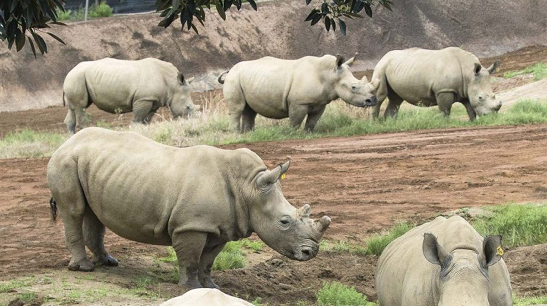Five white rhinos in the field at the Safari Park's Nikita Kahn Rhino Rescue Center