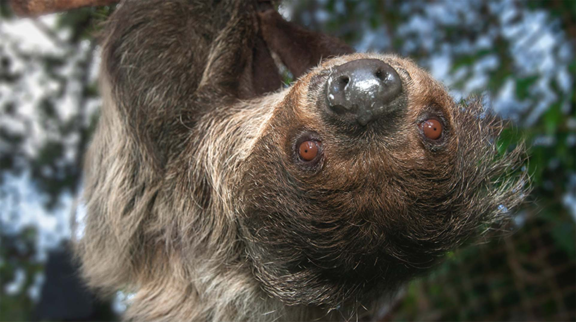A two-toed sloth hanging upside down from a branch.