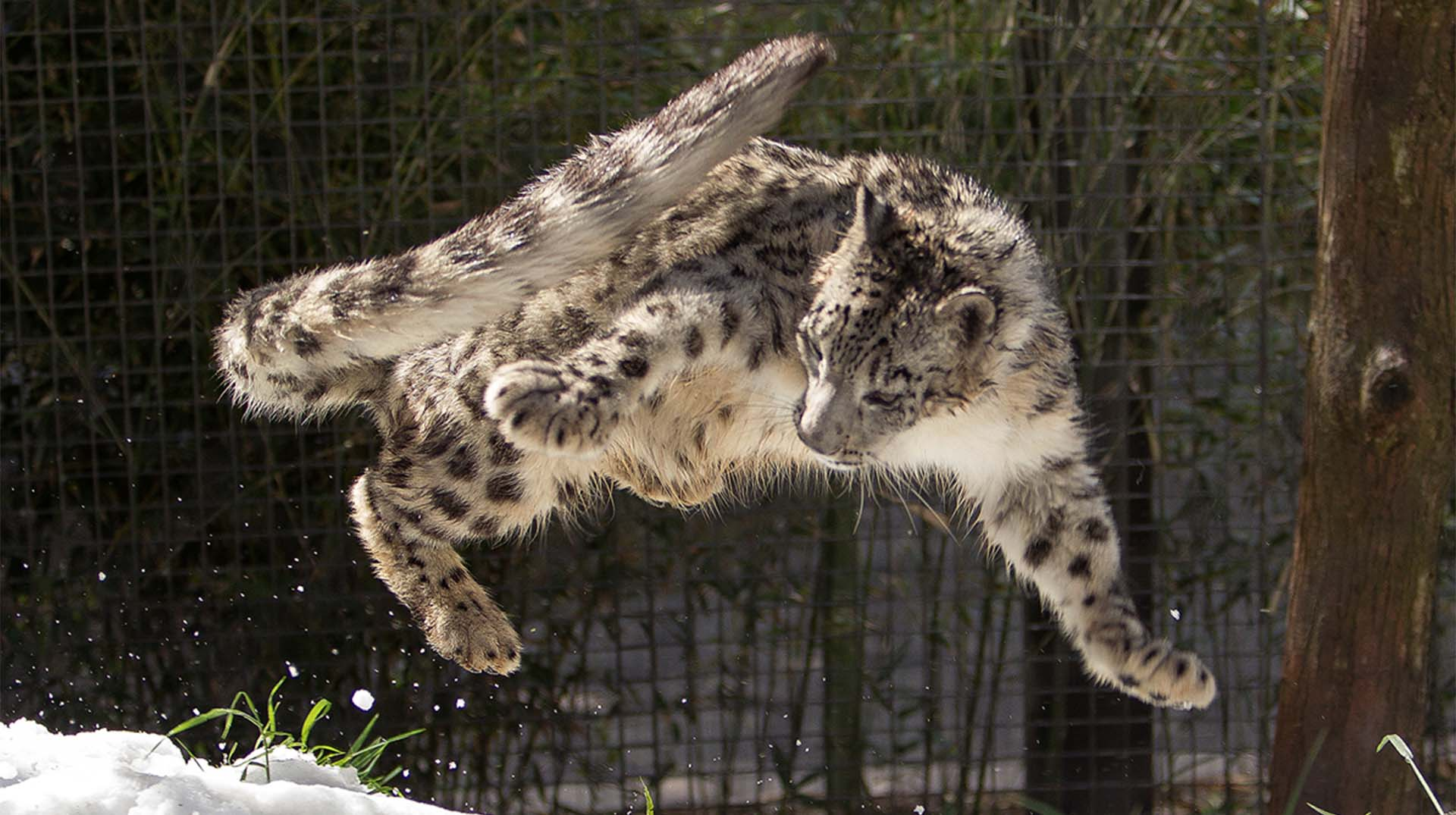 A snow leopard explores more than 30,000 pounds of snow in its Zoo habitat.