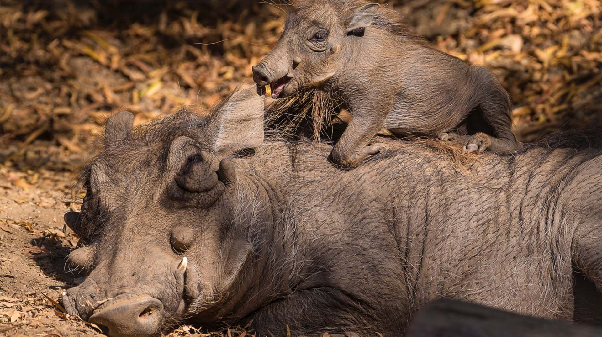 A five-week-old southern warthog piglet climbs on its mother's back.