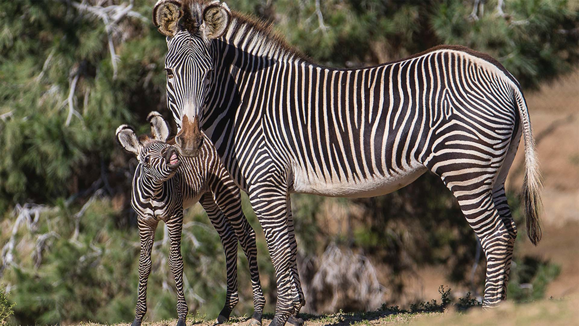 A zebra foal looks at its mother to memorize her unique stripe pattern.