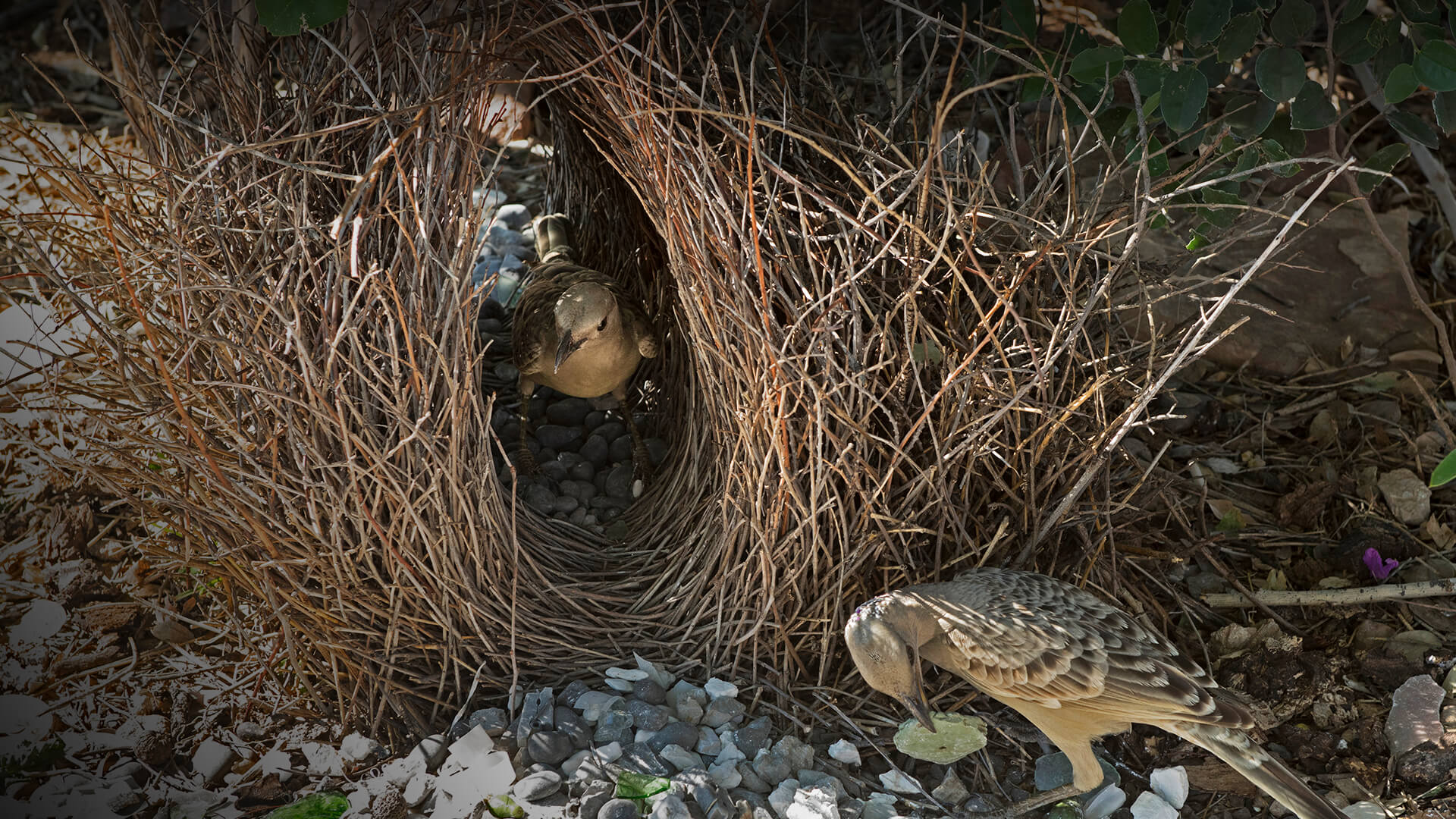 Male and female Great bowerbirds inspecting bower