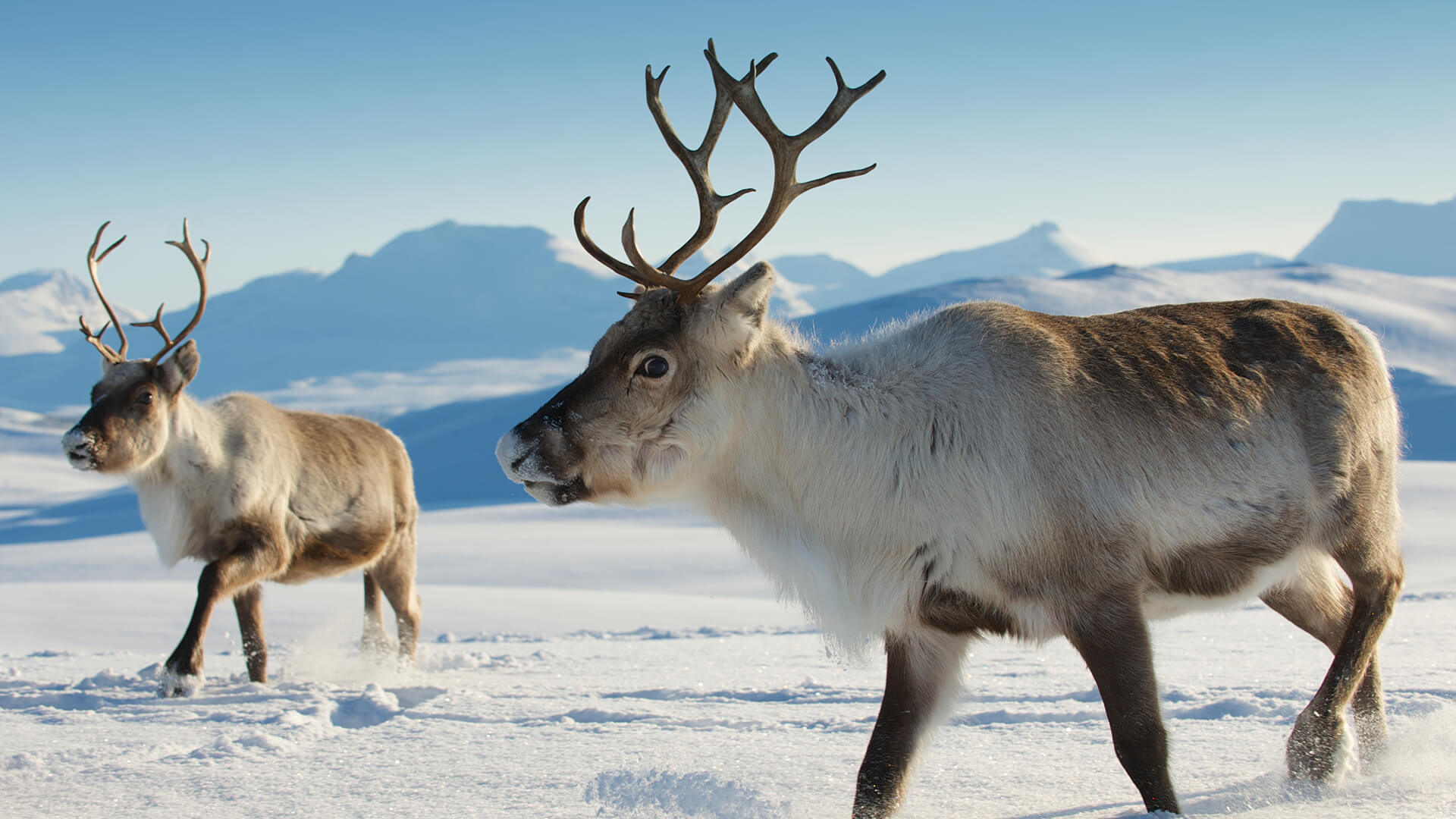 Image result for reindeer or caribou
