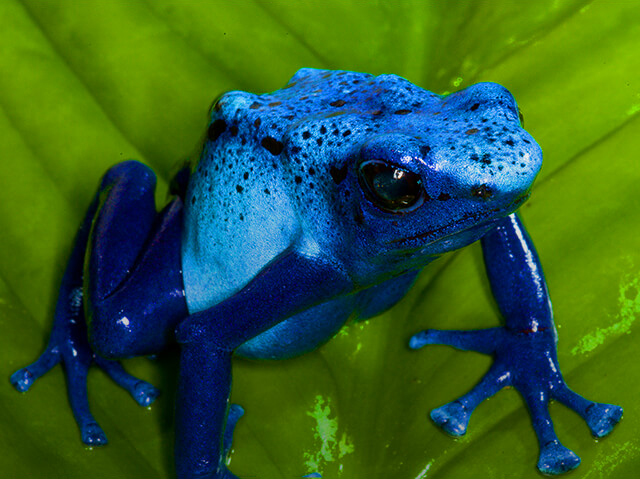 blue poison dart frog on a leaf