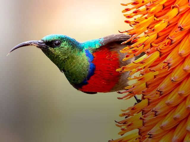 hummingbird in orange tubular flower cluster