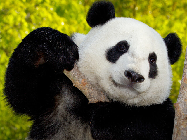 giant panda holding up a thick stick of bamboo