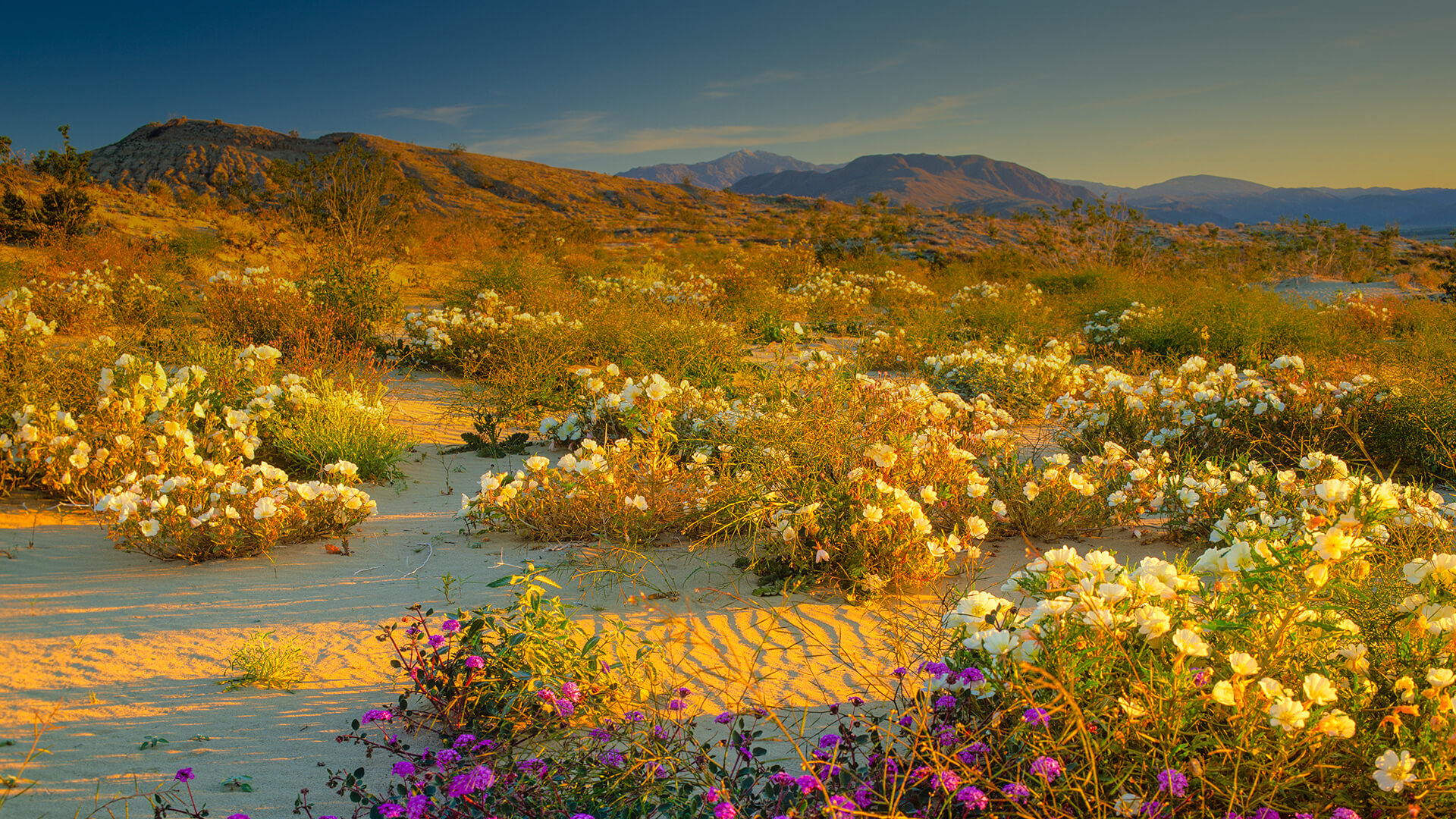 Anza Borrego Desert in bloom