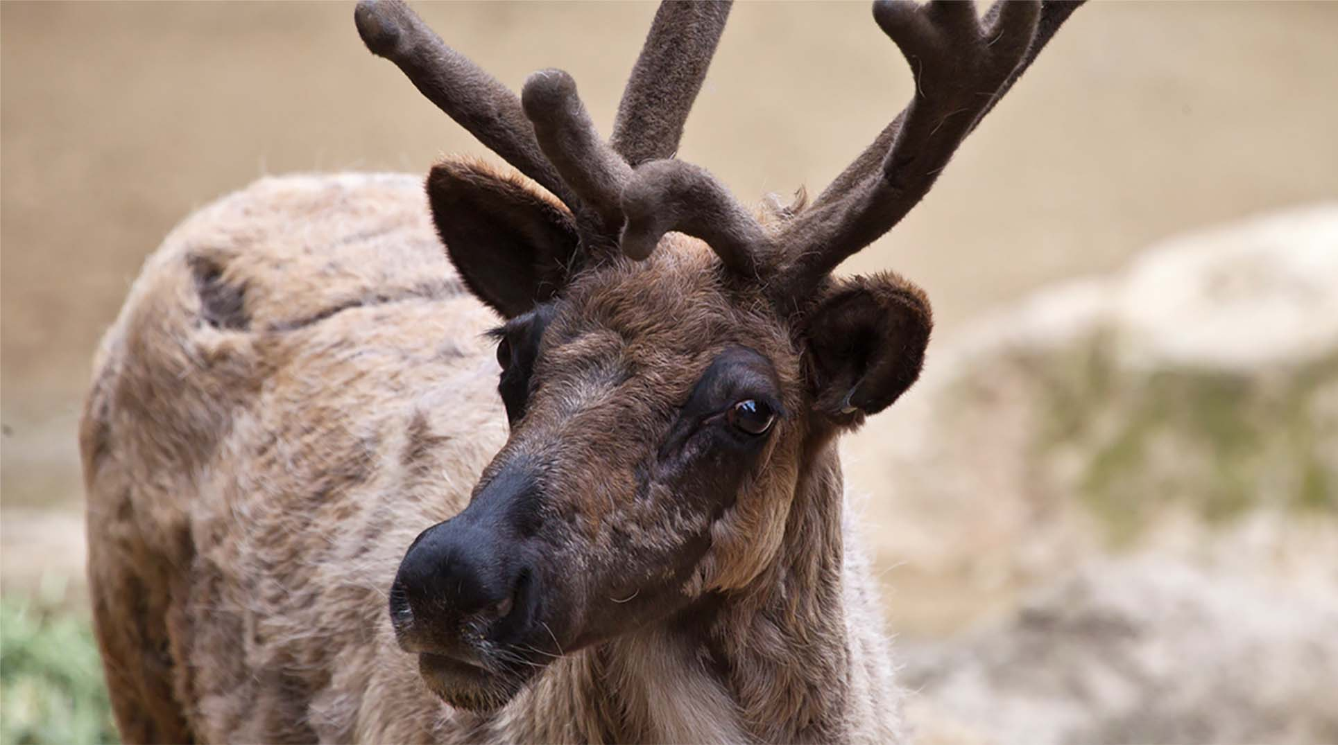 A reindeer displaying its antlers.