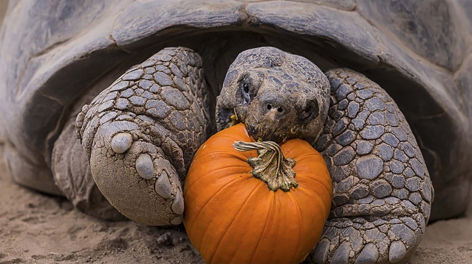 A giant, Galápagos tortoise taking a bite out of a pumpkin.