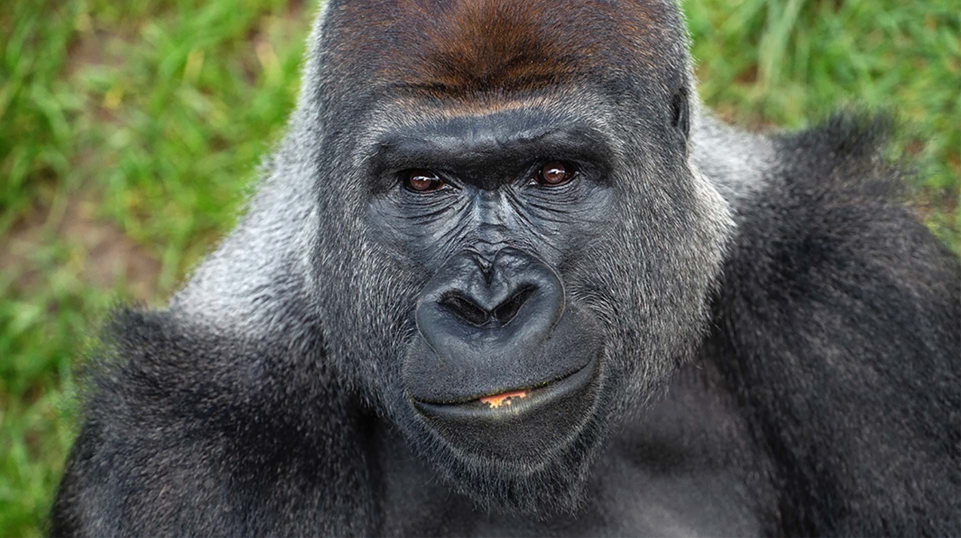 The face of an adult, male gorilla.