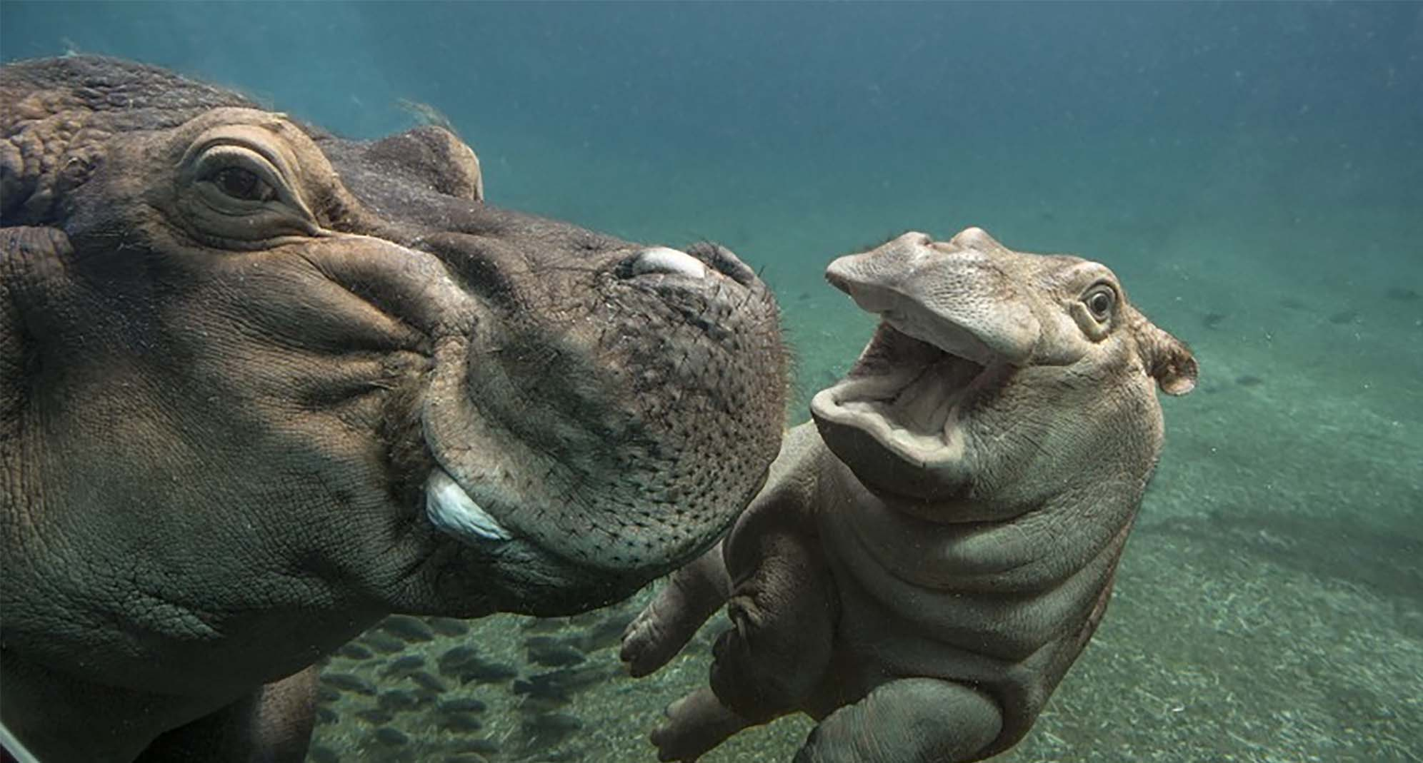 Mother and child hippo swimming in a pool watching each other.