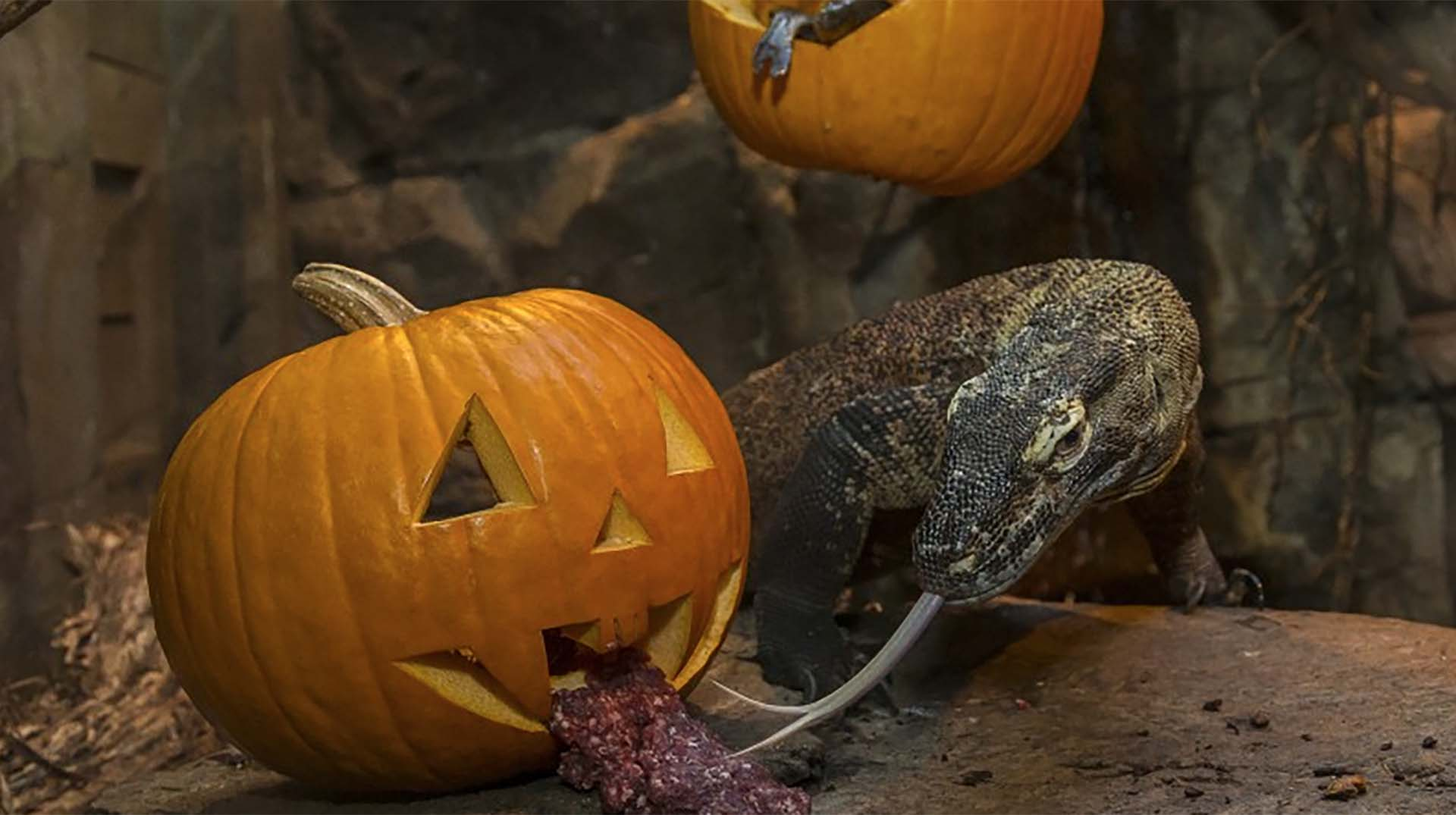 A Komodo dragon eating meet with its tongue out of a jack-o'-lantern.