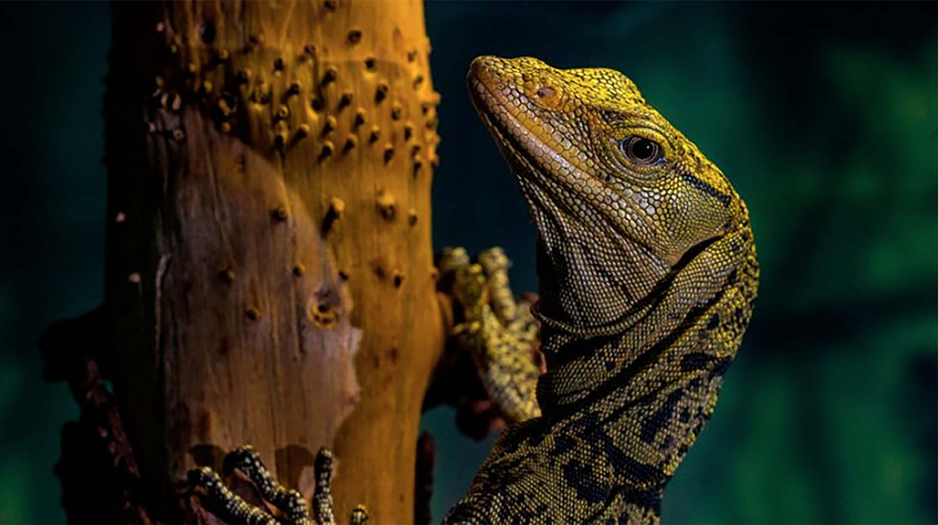 The face of a year-old Gray's monitor lizard climbing on a branch.