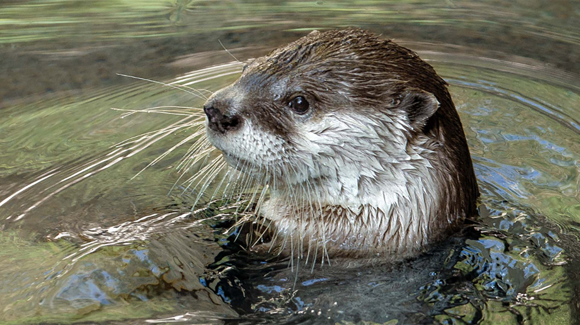 An otter at the Zoo with its head peeking out of the water.