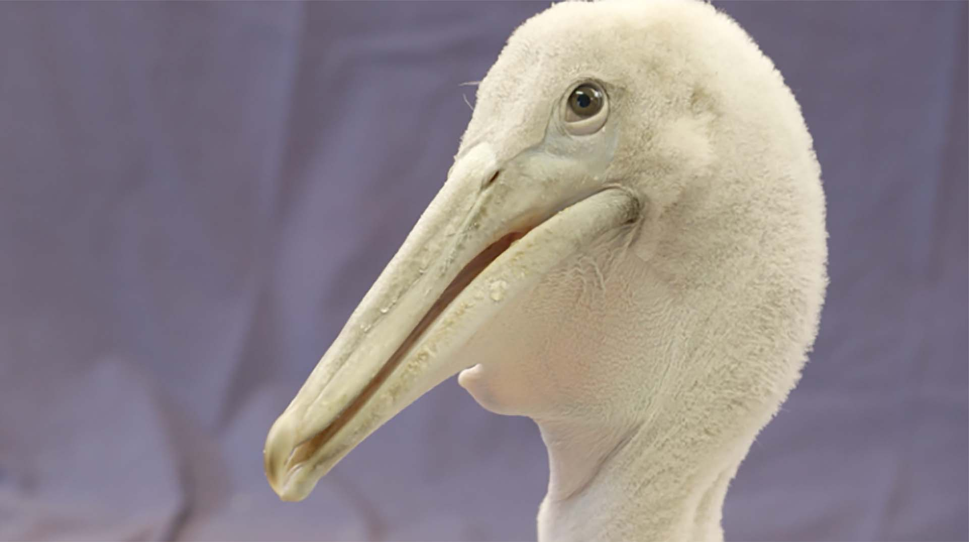 The white face of a  one-month-old Dalmatian pelican chick at the Zoo.