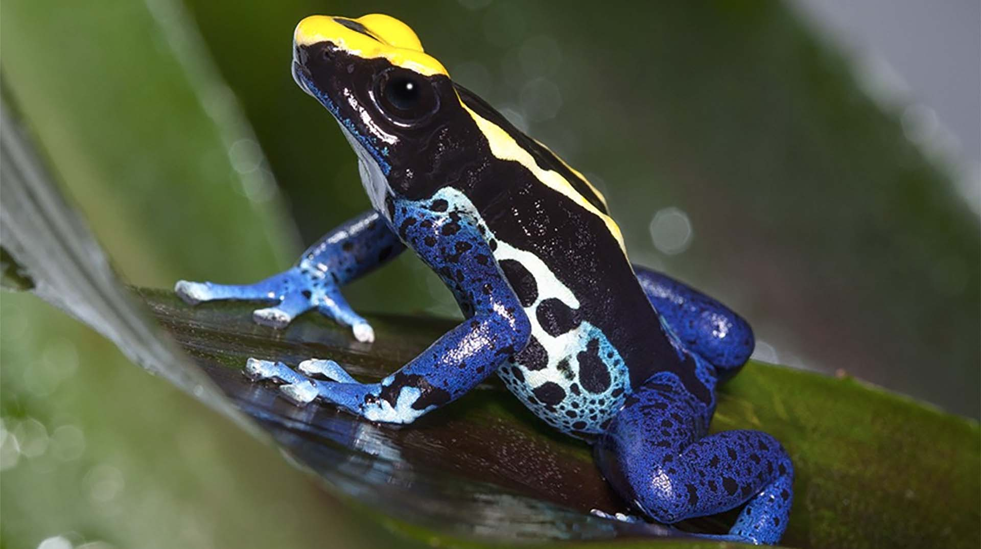 A yellow and blue poison frog with spots on a leaf. The frog's' bright colors warn predators of their toxicity.