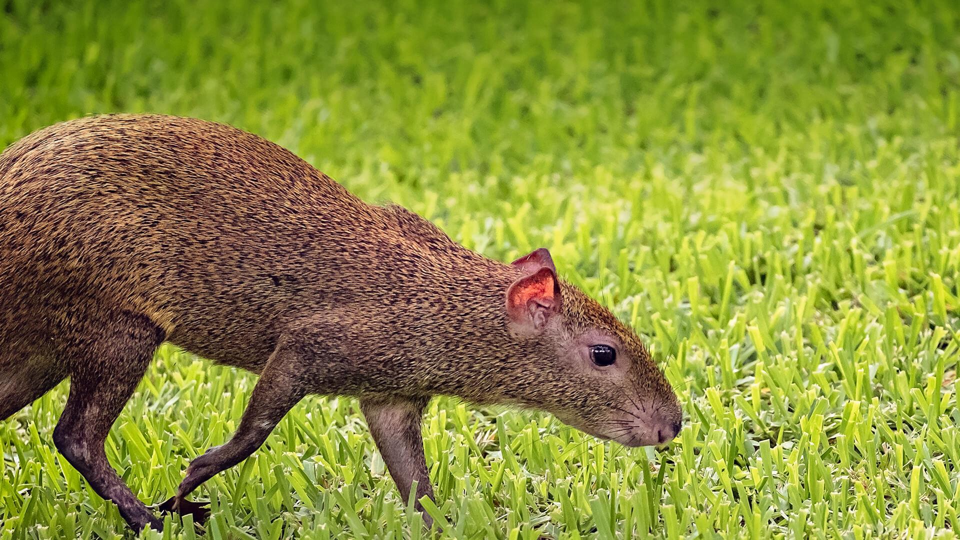 agouti san diego zoo animals amp plants