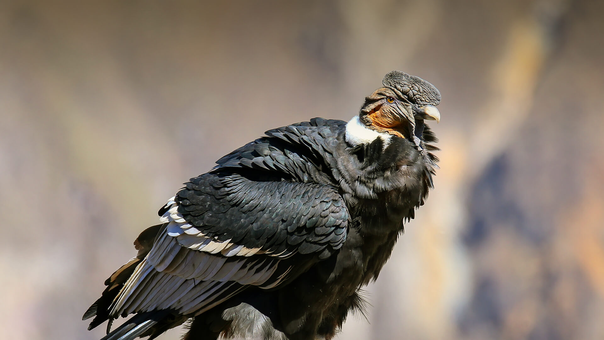 Andean Condor San Diego Zoo Animals Plants