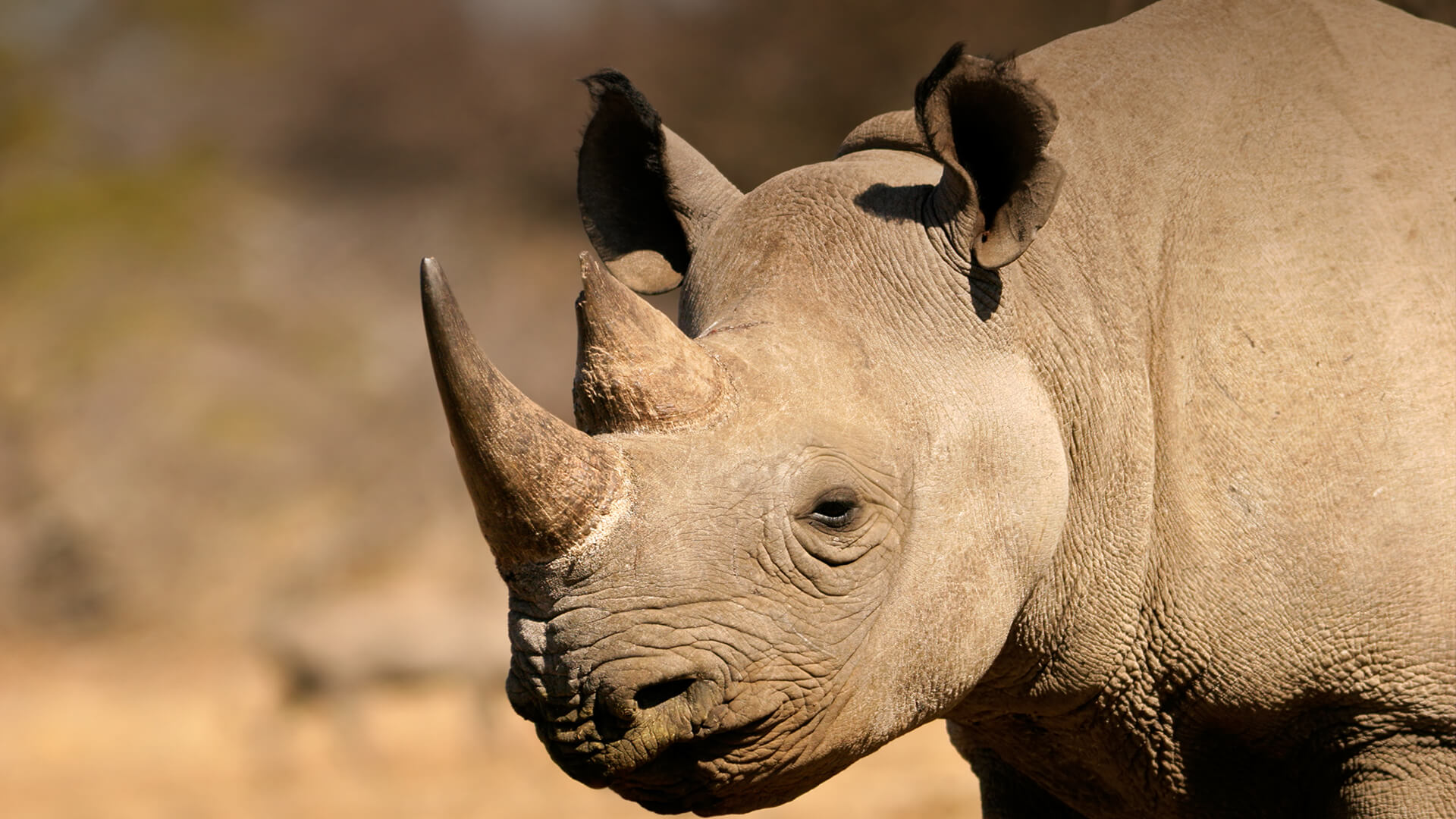 Rhinoceros | San Diego Zoo Animals & Plants