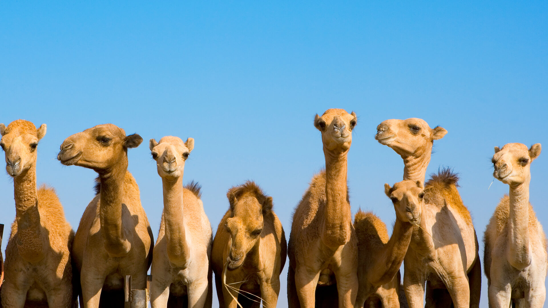 How Long Can A Camel Live Without Drinking Water