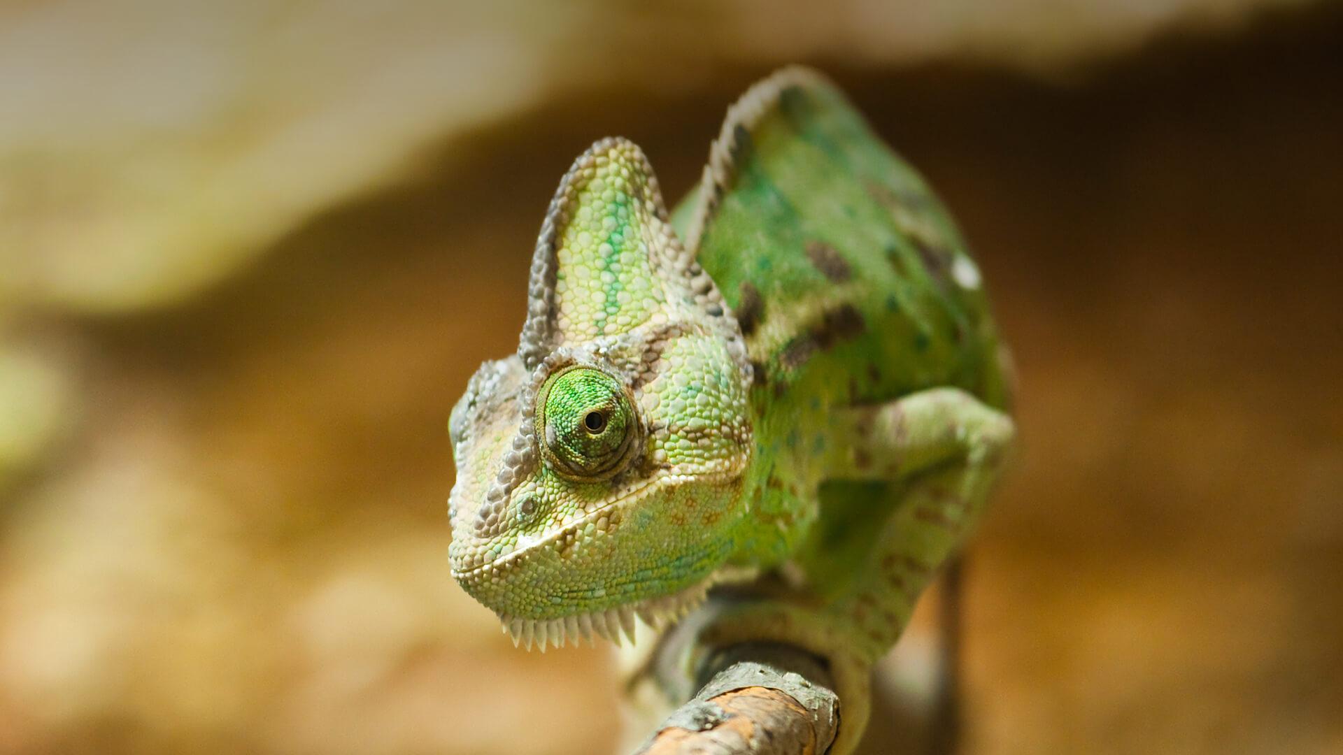 Key points for chameleon