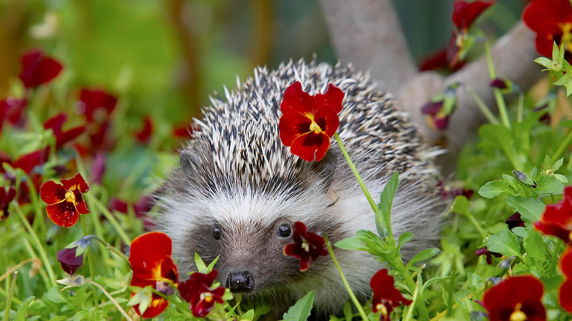 Hedgehog San Diego Zoo Animals Amp Plants