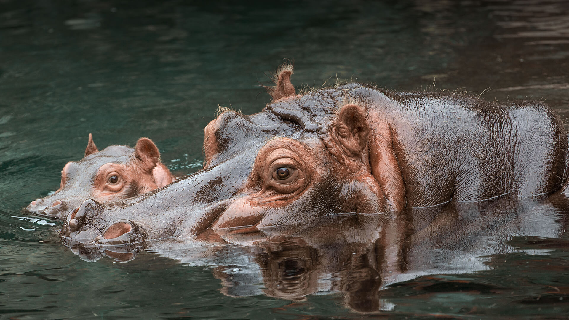 Animal Came In Her Mouth Porn hippo | san diego zoo animals & plants