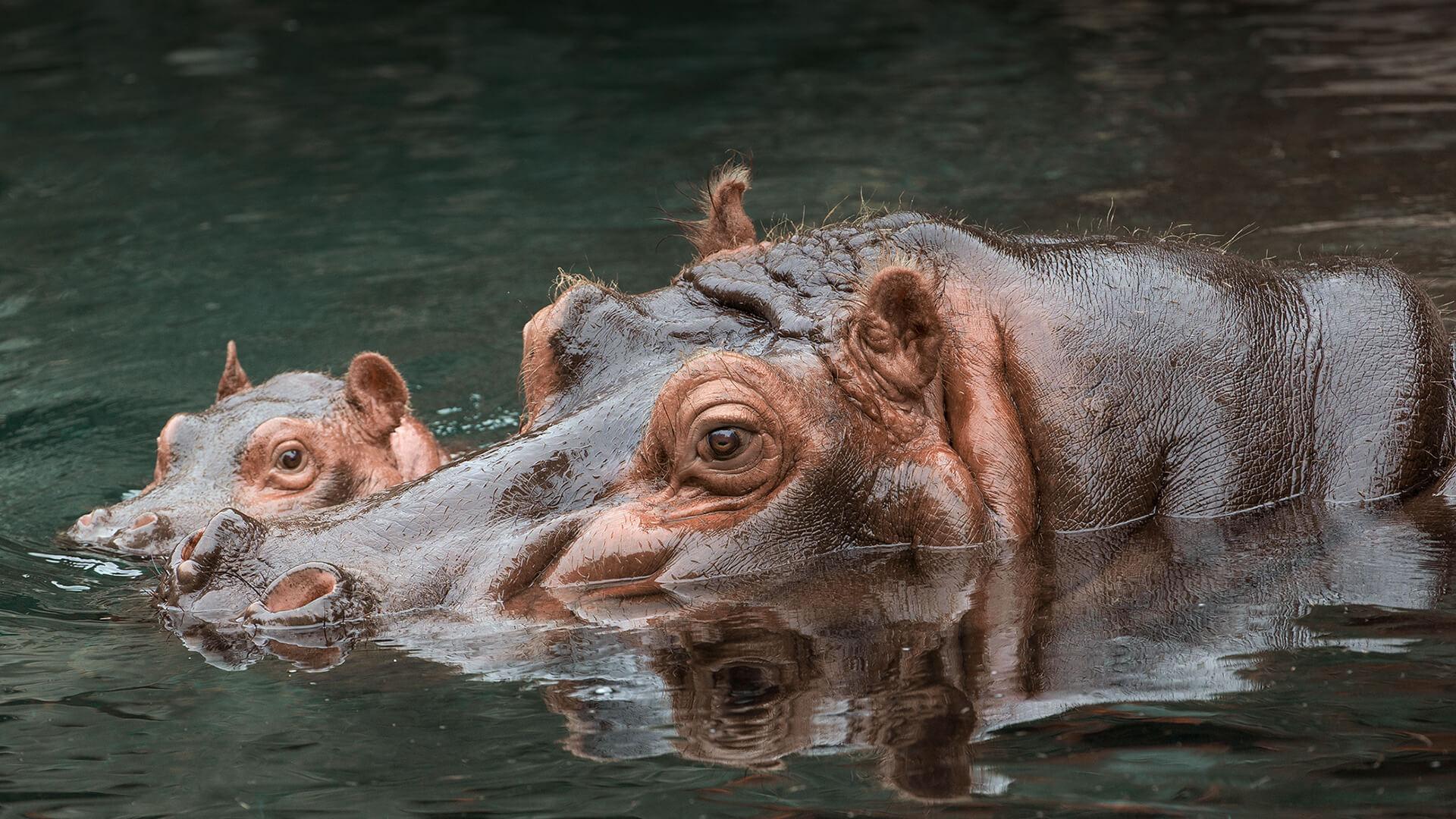 Hippo | San Diego Zoo Animals & Plants