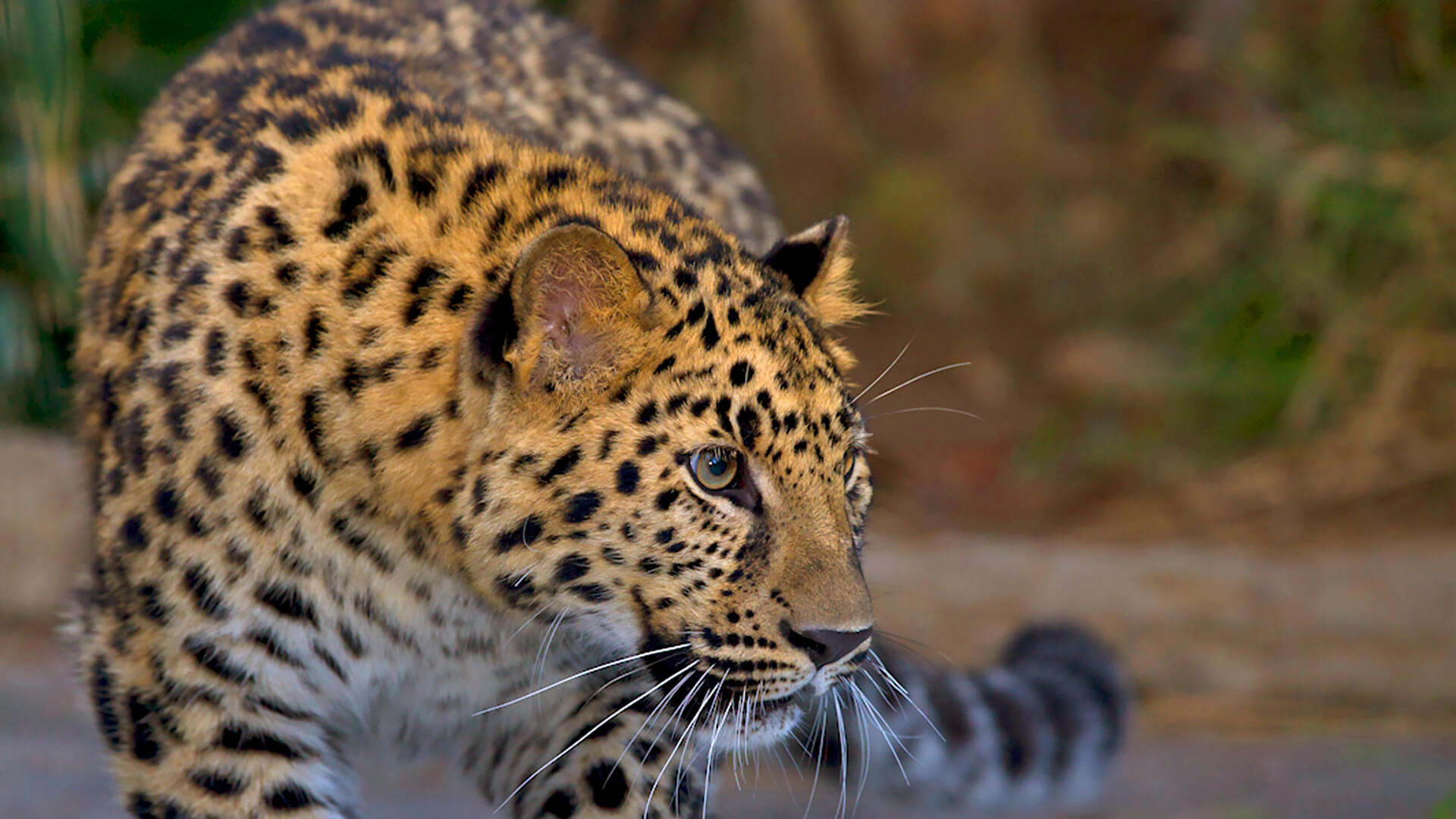 Amur leopard looking to the right with blurred jungle background