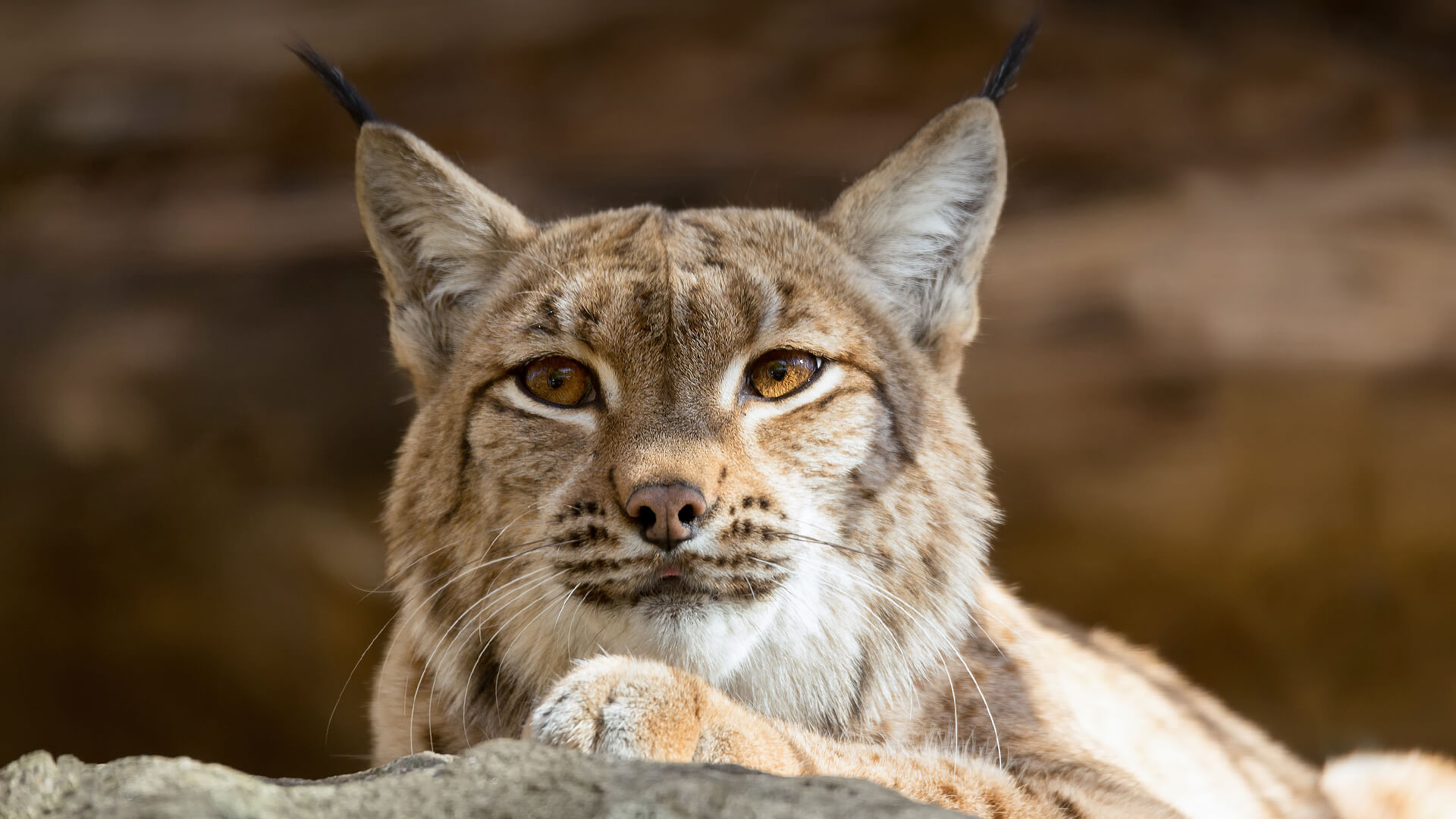 Lynx and bobcat san diego zoo animals plants - Animal 1920x1080 ...