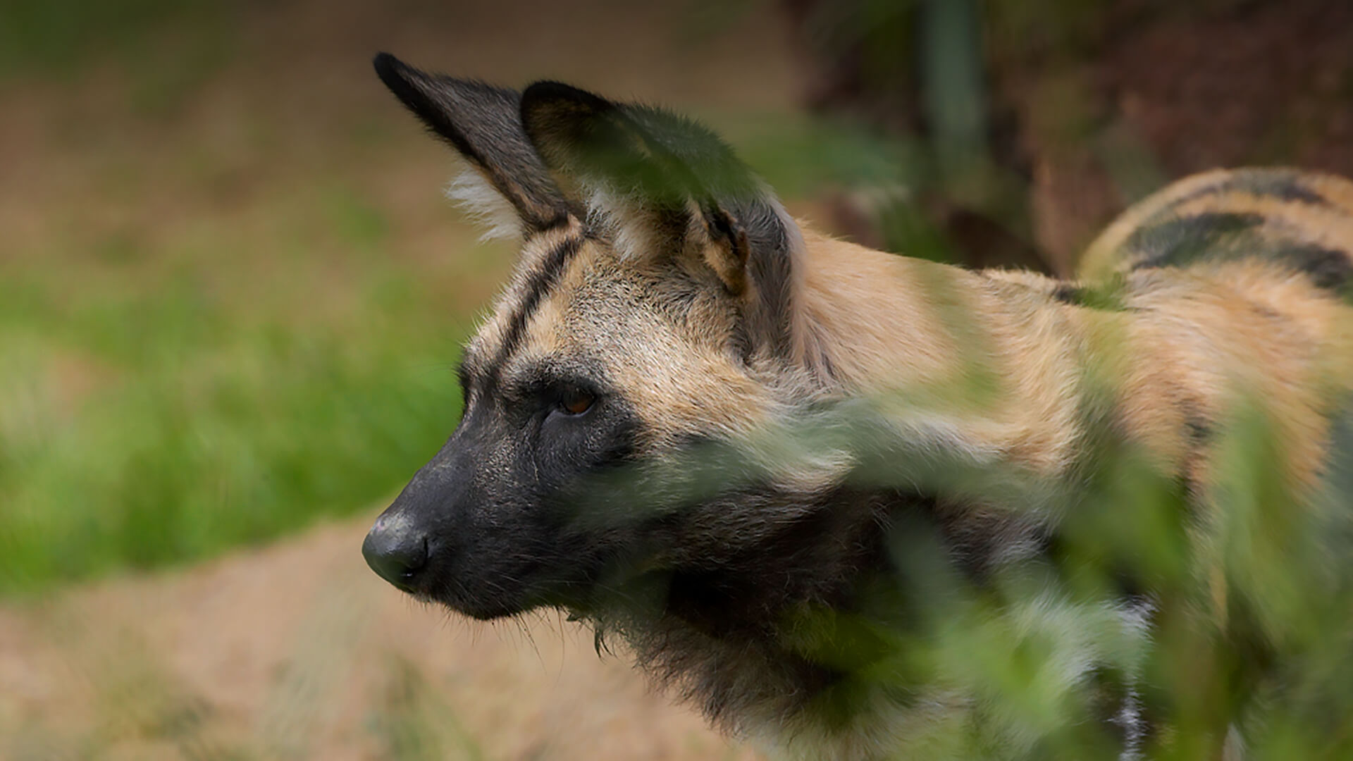 A painted dog looks to the left as it stands behind some blurred grass