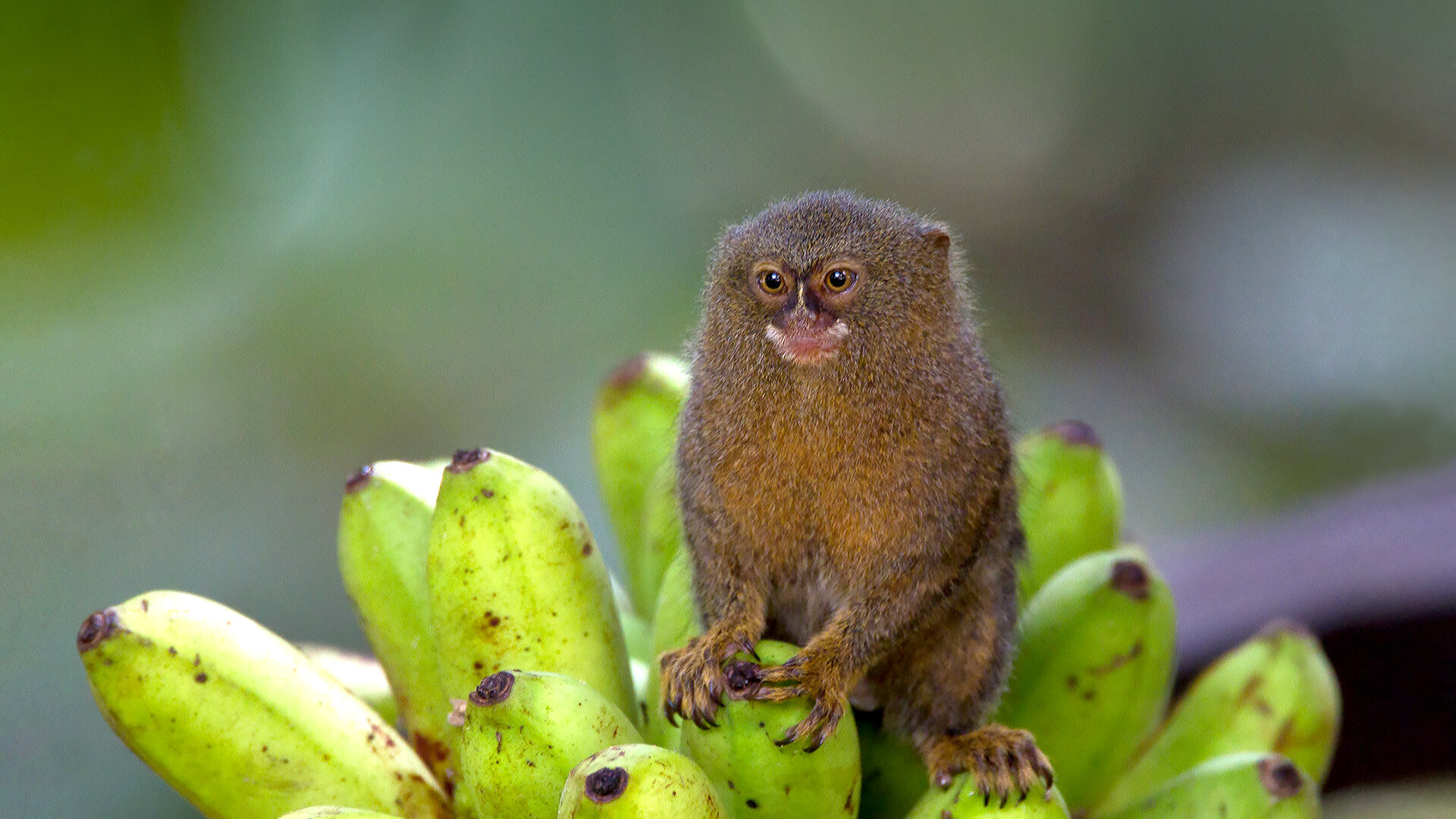 Pygmy marmoset sits on a bunch of bananas