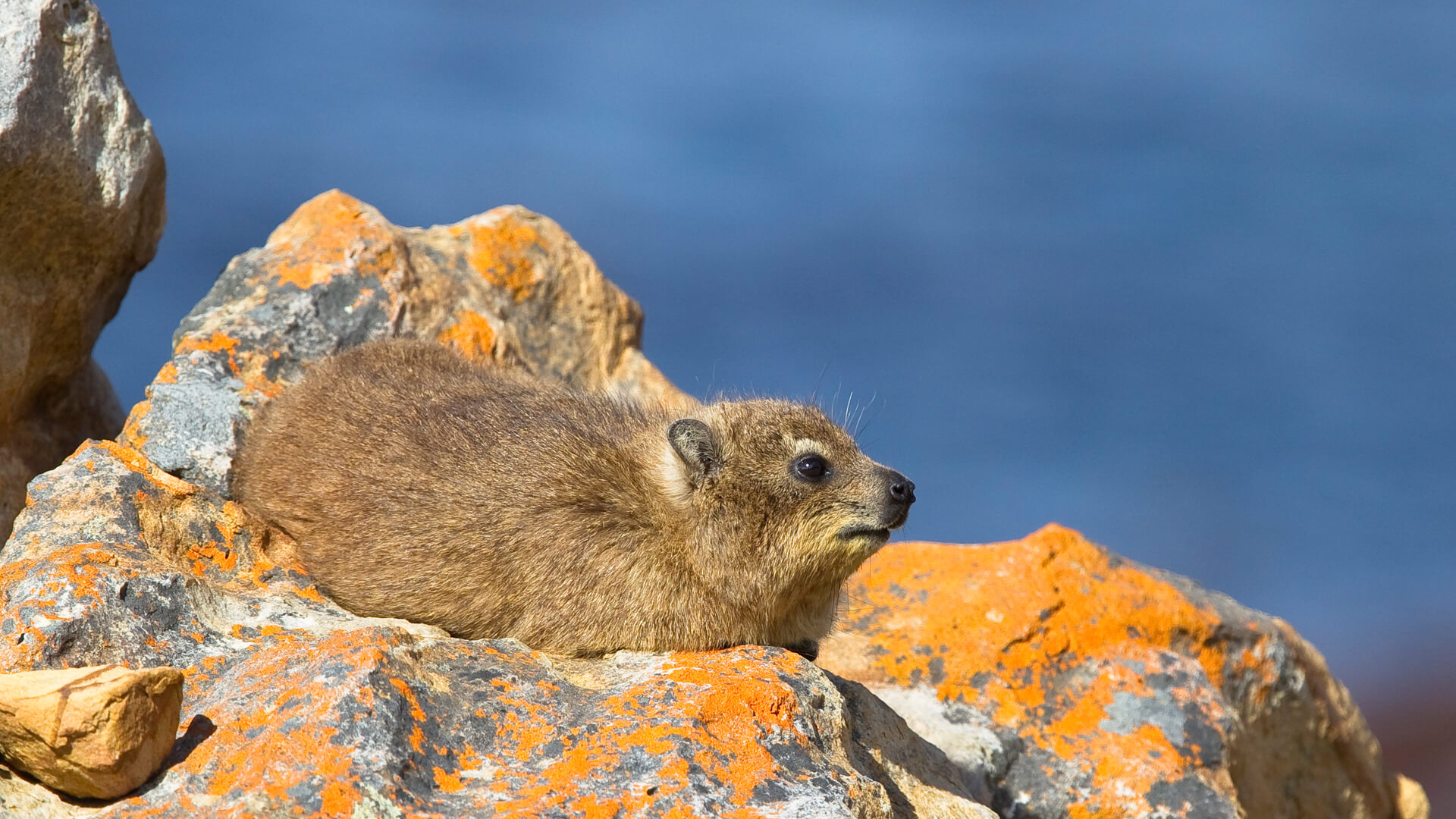 A Rock Hyrax or Dassie, on lichen covered rocks in Cape Peninsula, South Africa