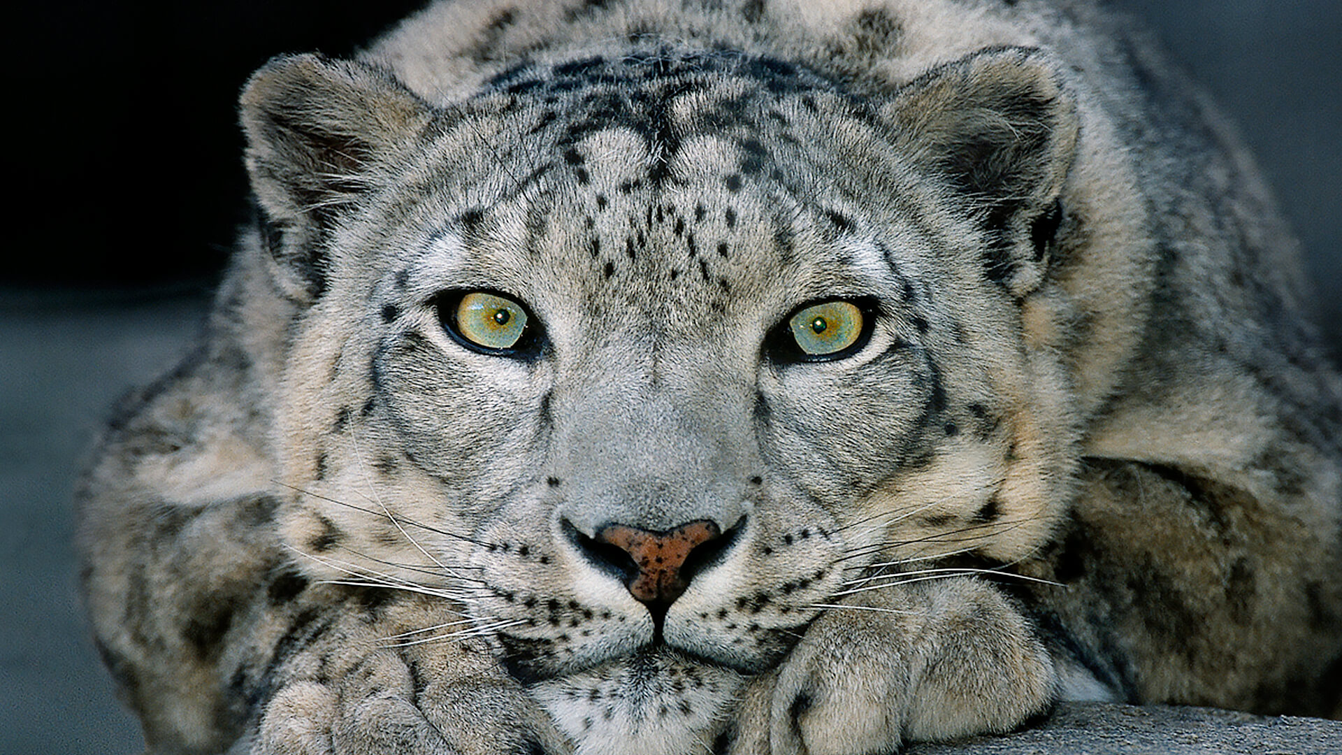 Snow Leopard San Diego Zoo Animals Plants