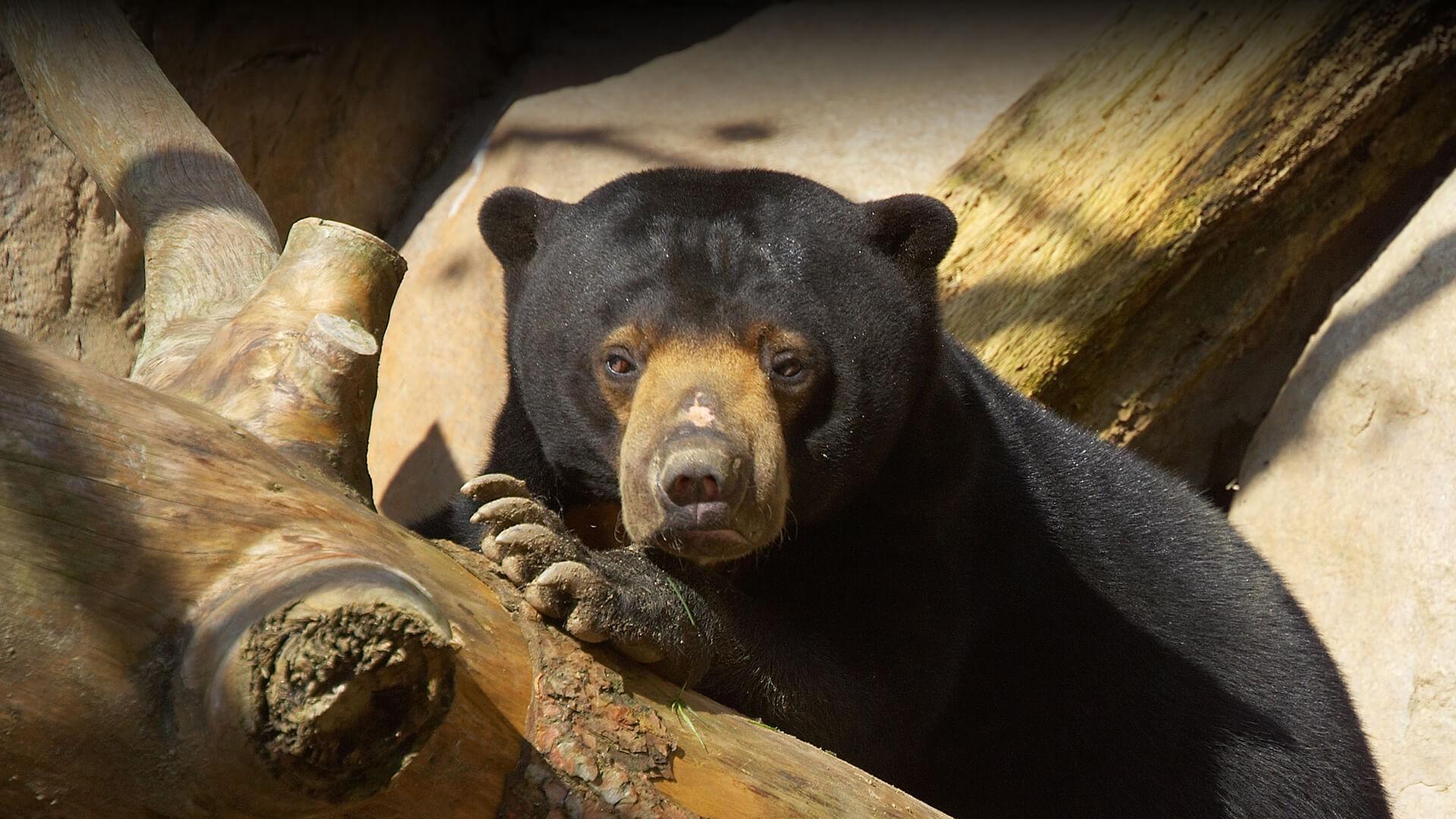 Sun Bear San Diego Zoo Animals Plants