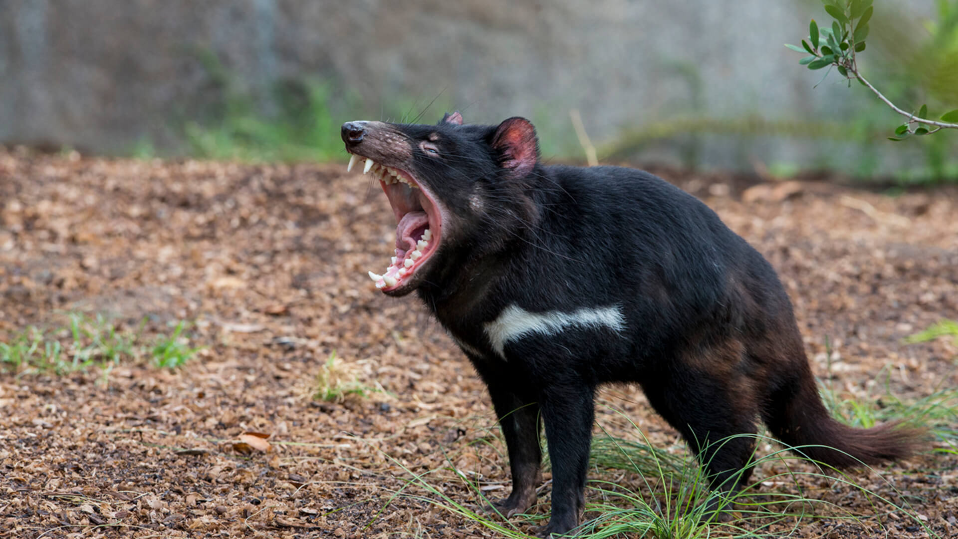 animals_hero_tasmaniandevil.jpg