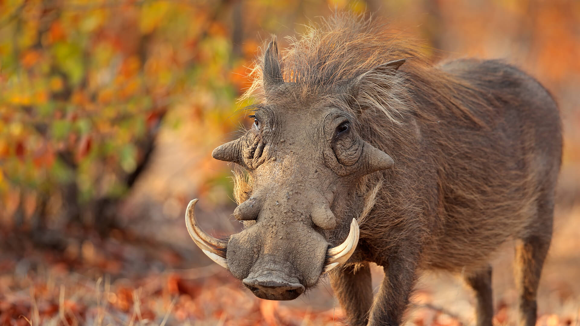 Warthog Facts, History, Useful Information and Amazing Pictures