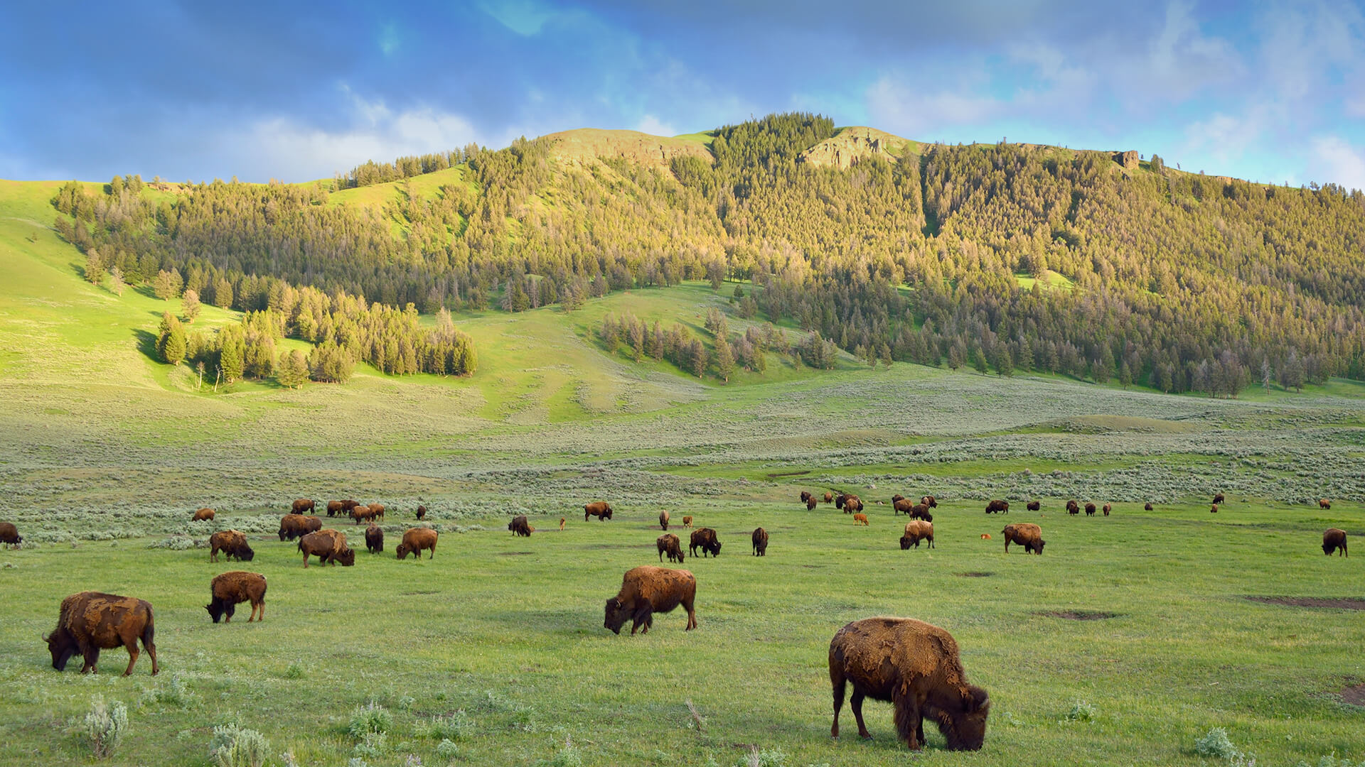 Wild bison graze in a large green field in Yosemite