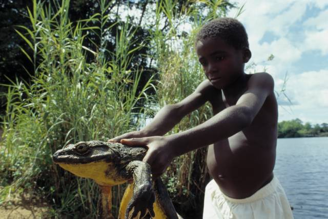 Goliath Frog on From Tadpole To Frog