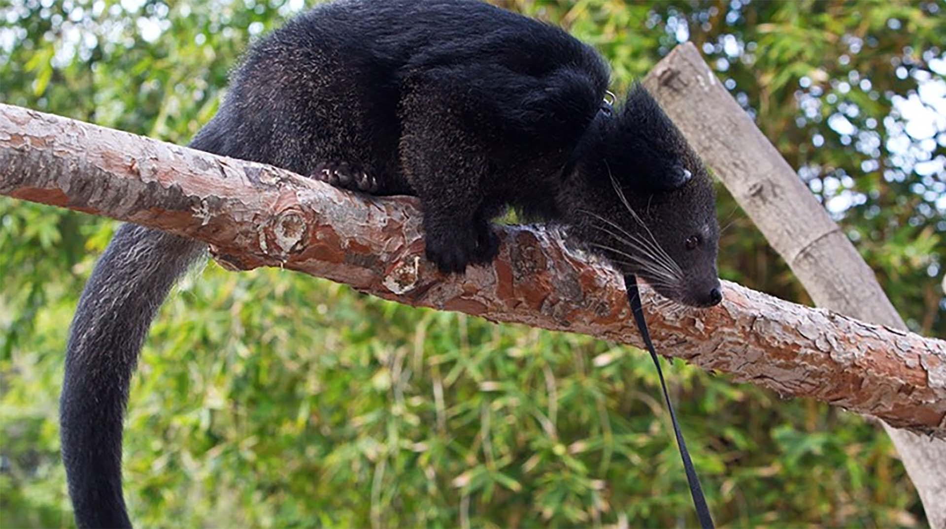 A close up of a Binturong in a tree.