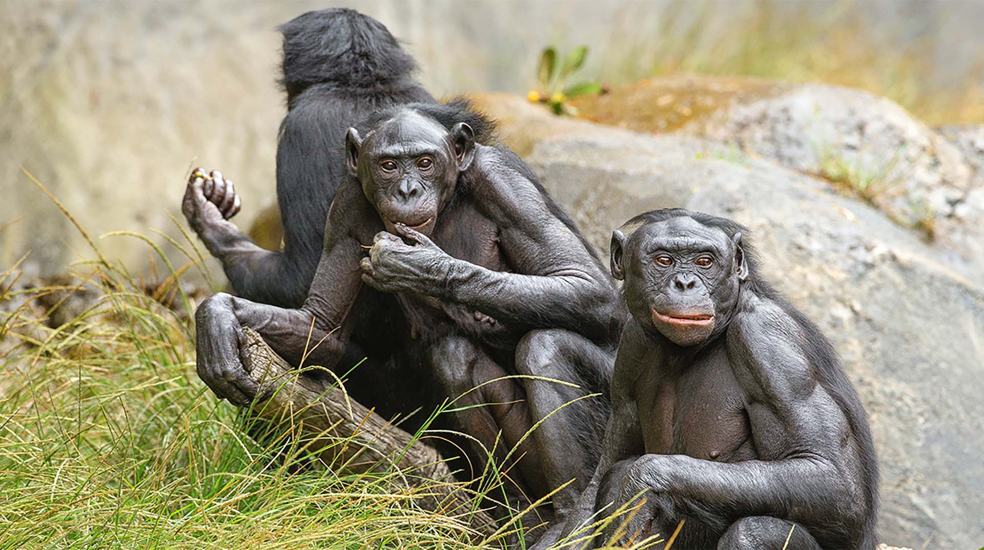 Three bonobos at the San Diego Zoo huddled in a group socializing with one another.
