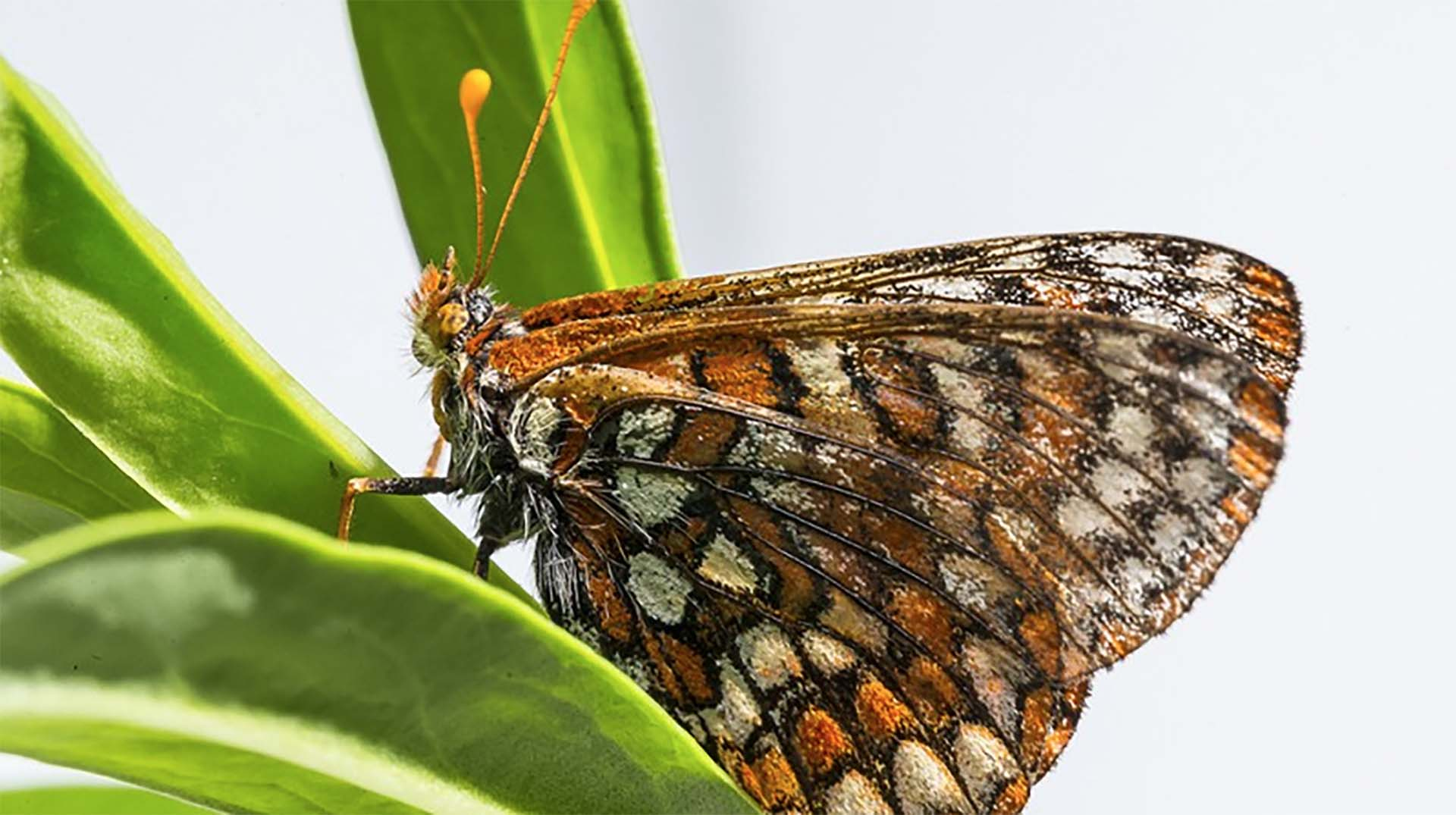 A Quino butterfly perched on a plant.