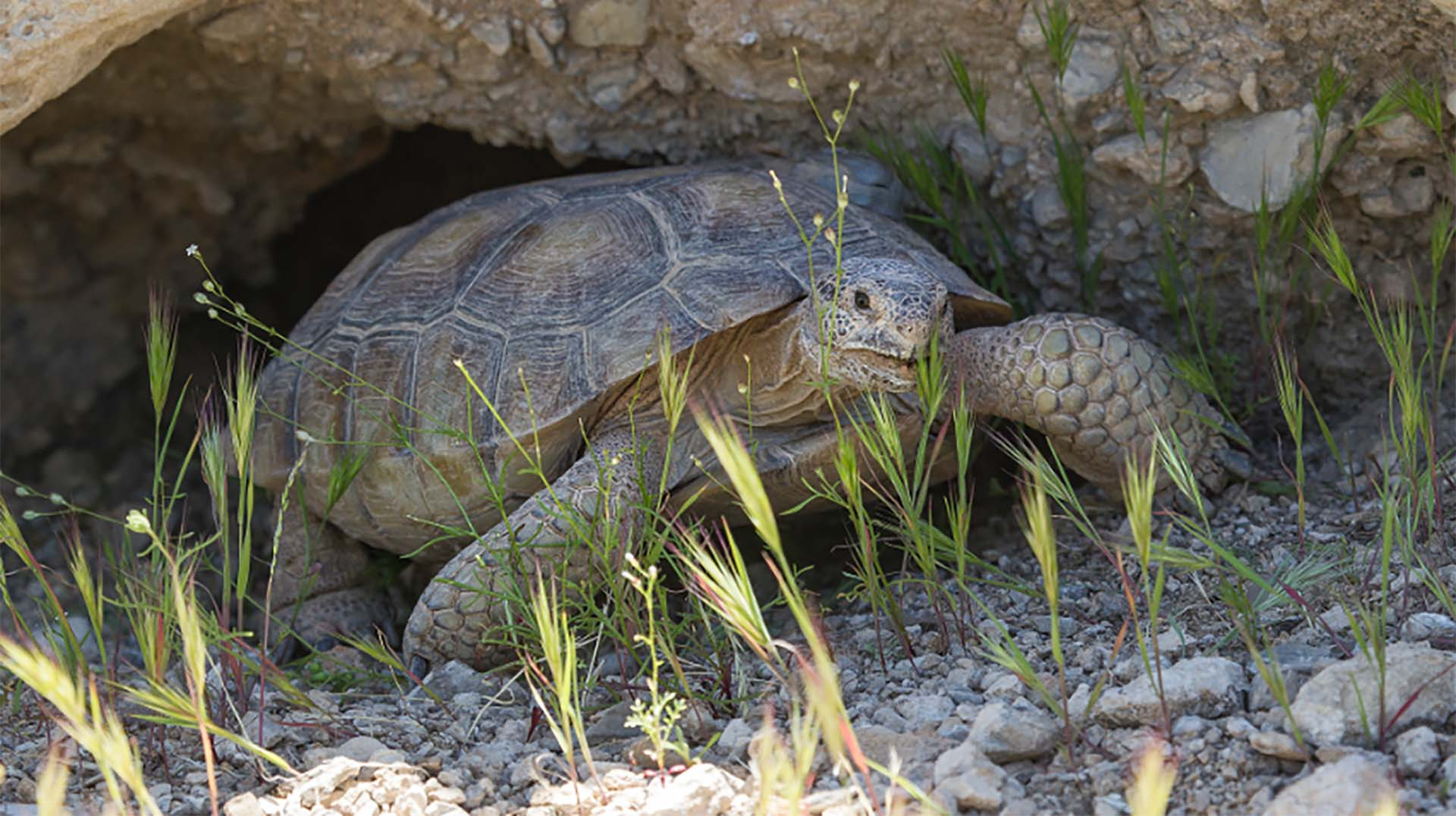 A desert tortoises tucked along a rock in the grass and rocks.