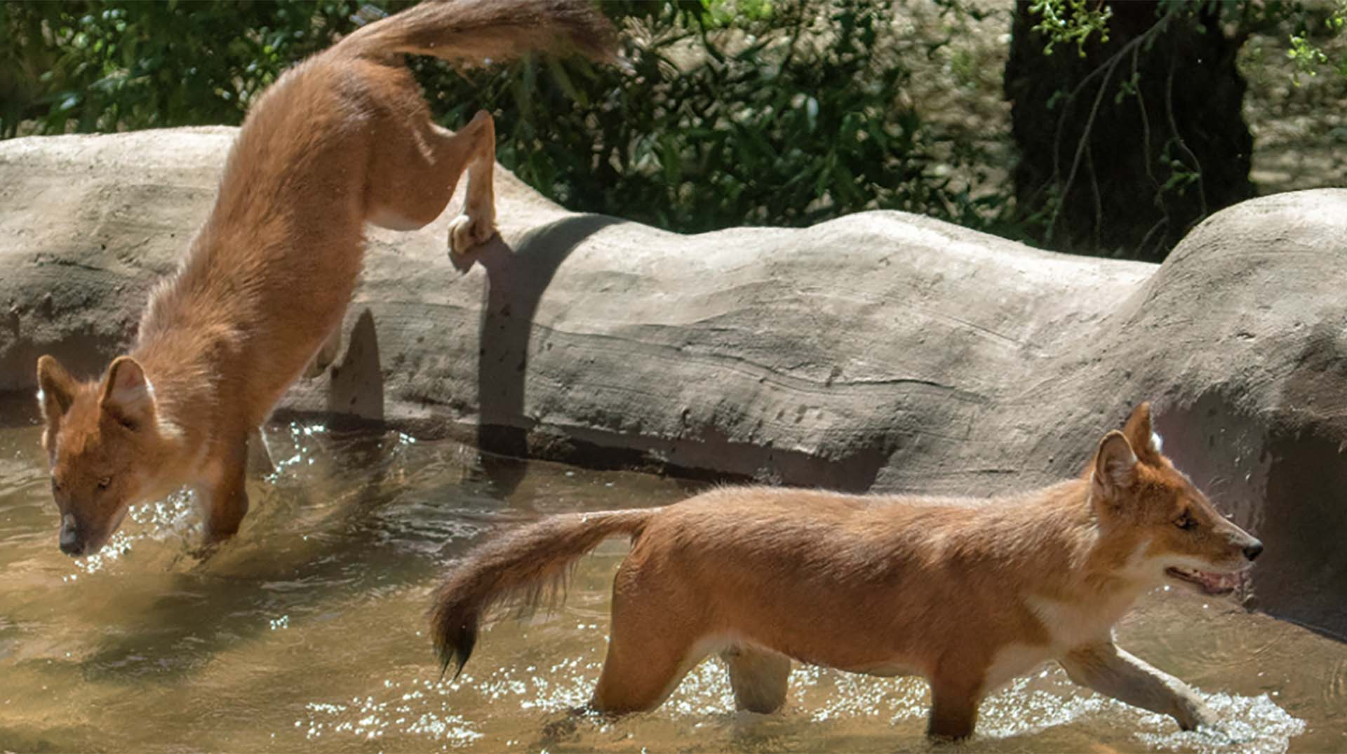 One dhole jumping over a wall into the pool and another wading in the water.