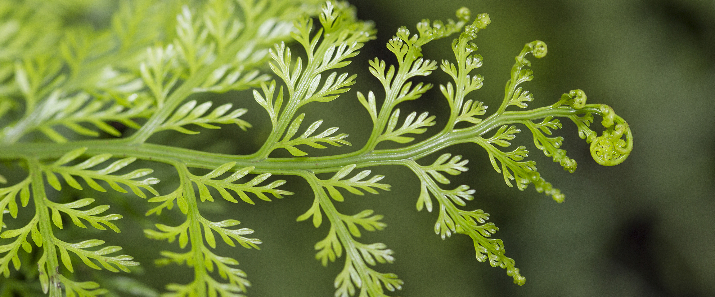 Close up of unfurling fern frond