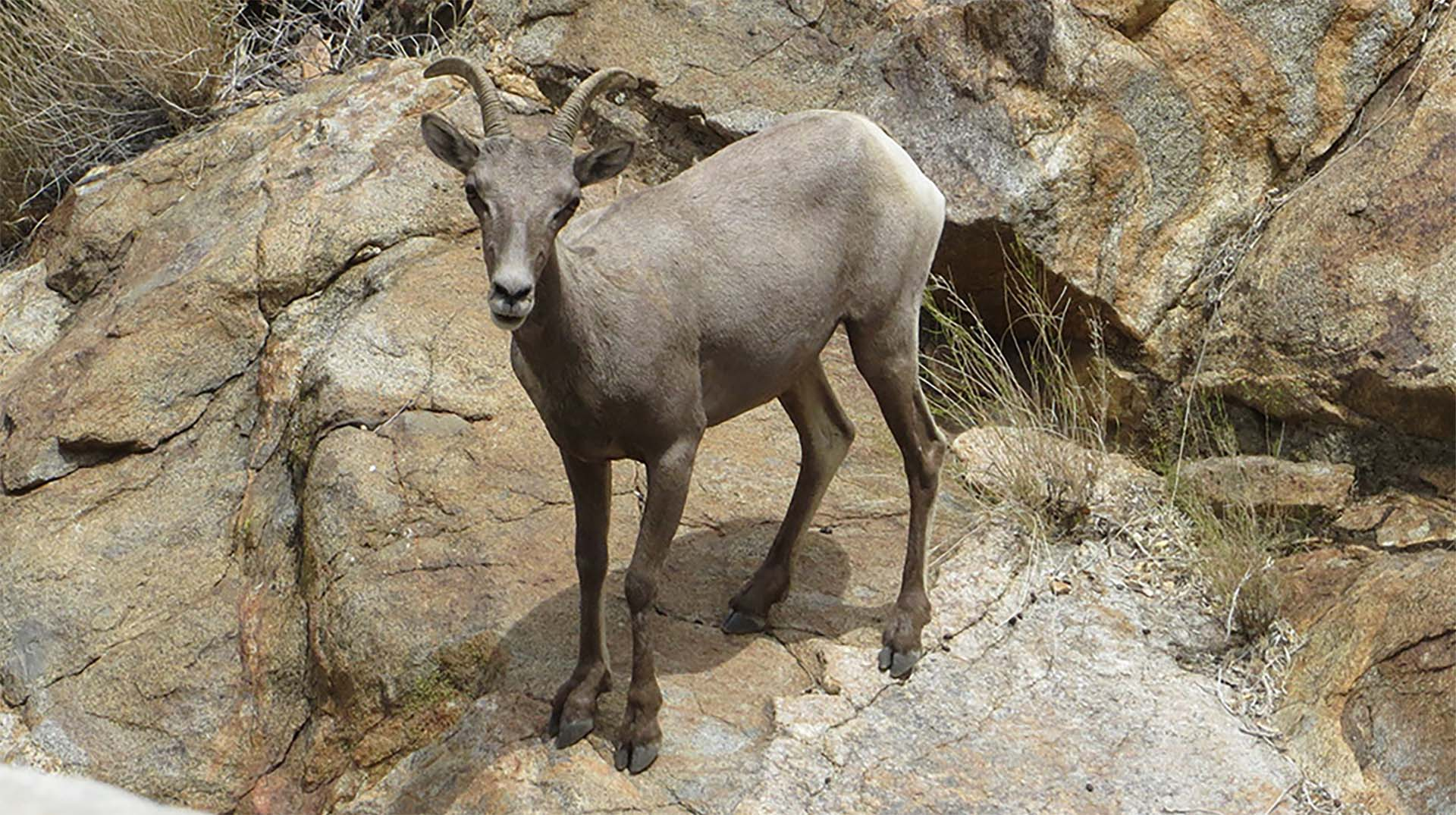 A bighorn sheep standing on rugged terrain.