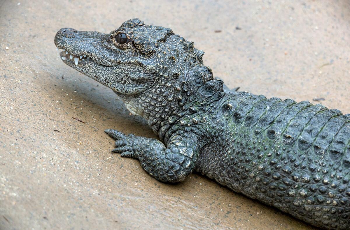 Crocodilian | San Diego Zoo Animals & Plants