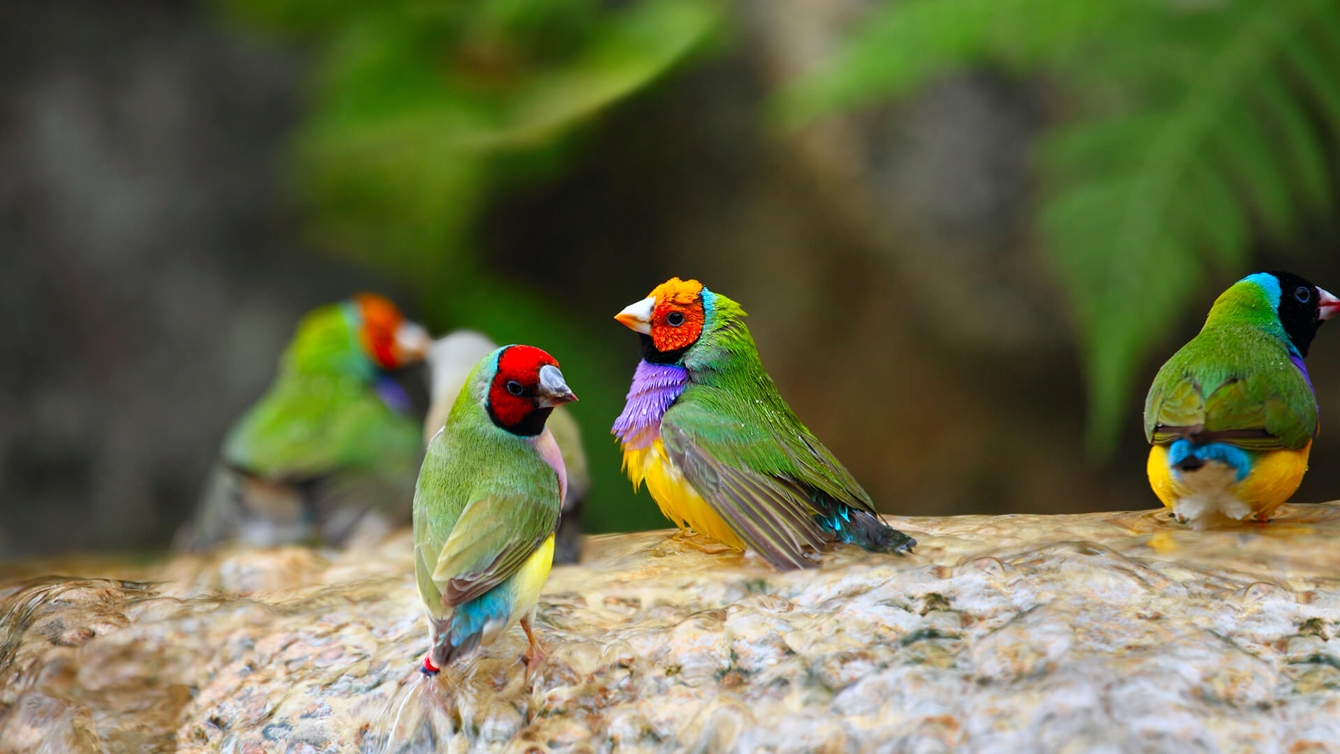 Gouldian Finch | San Diego Zoo Animals & Plants
