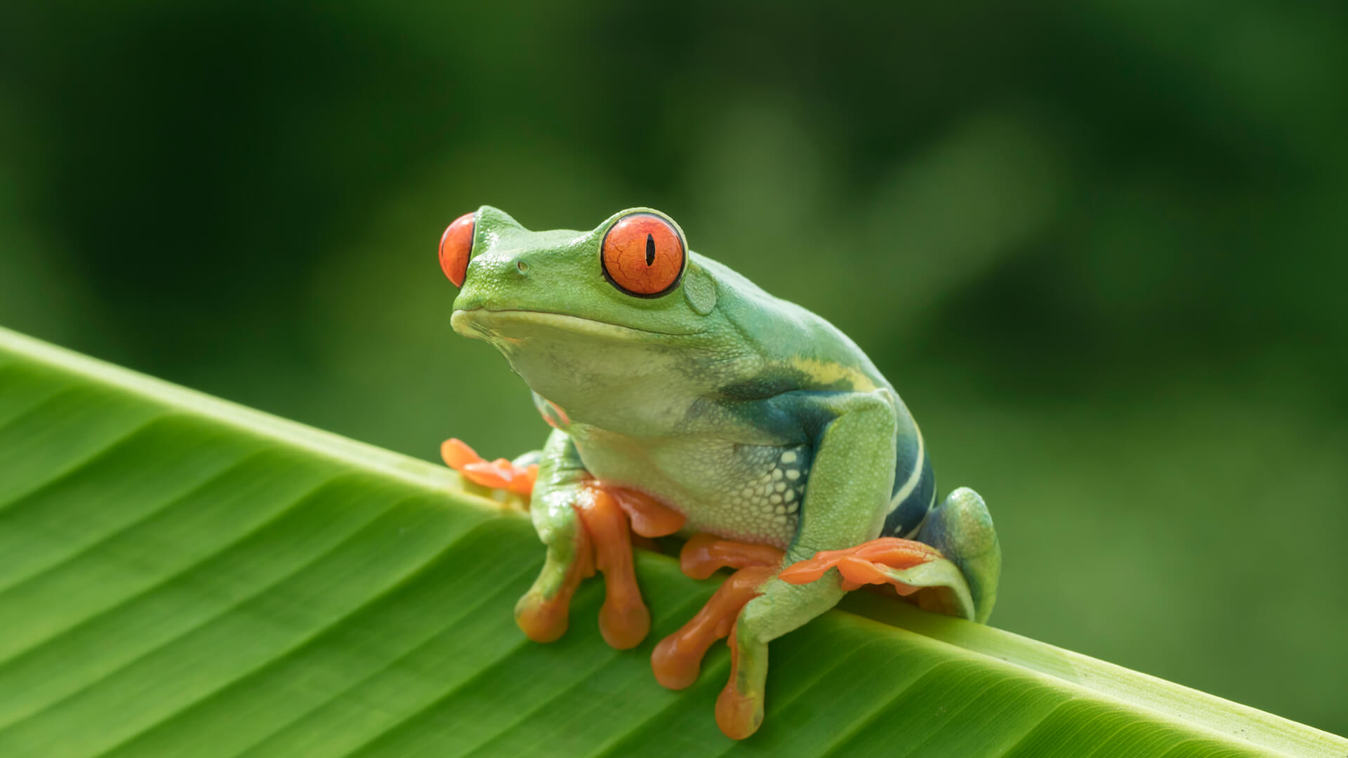 Rainforest tree frog